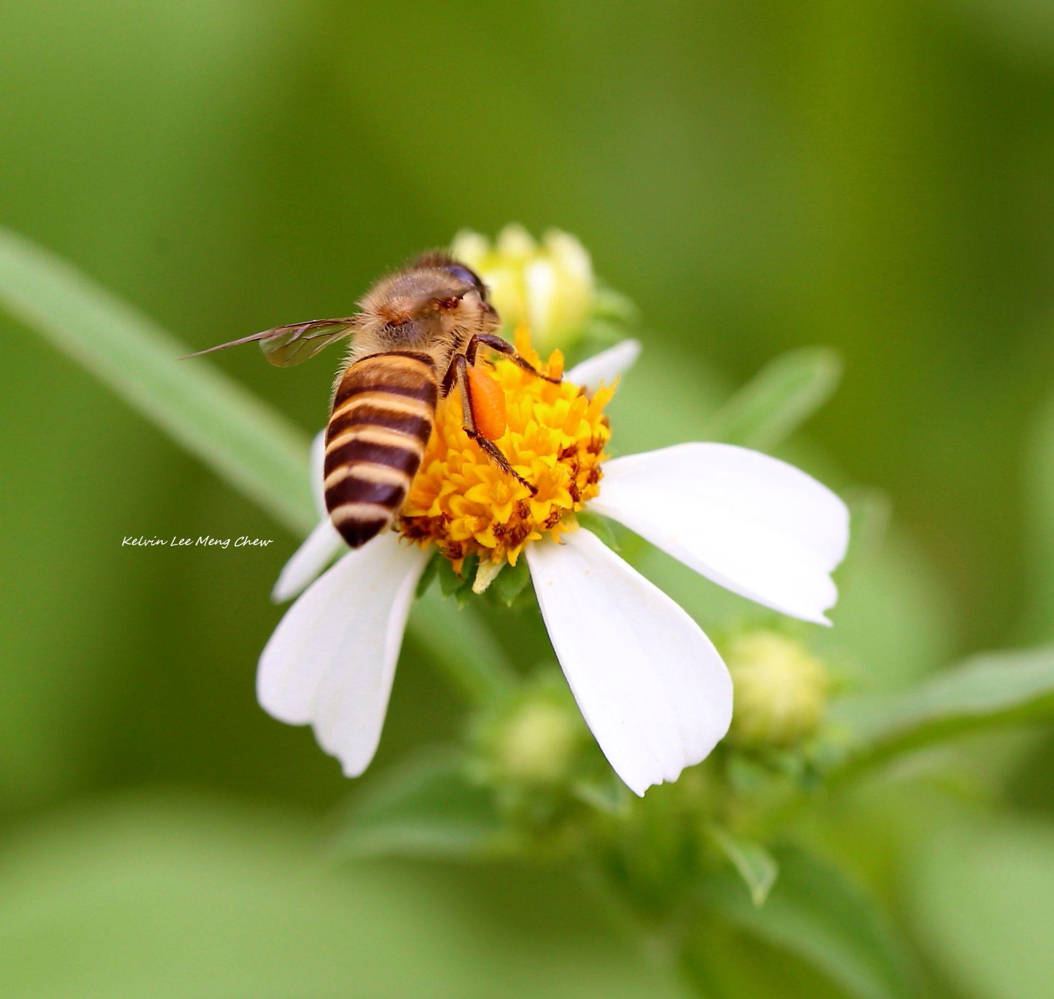 Bee 2 by Kelvin Lee