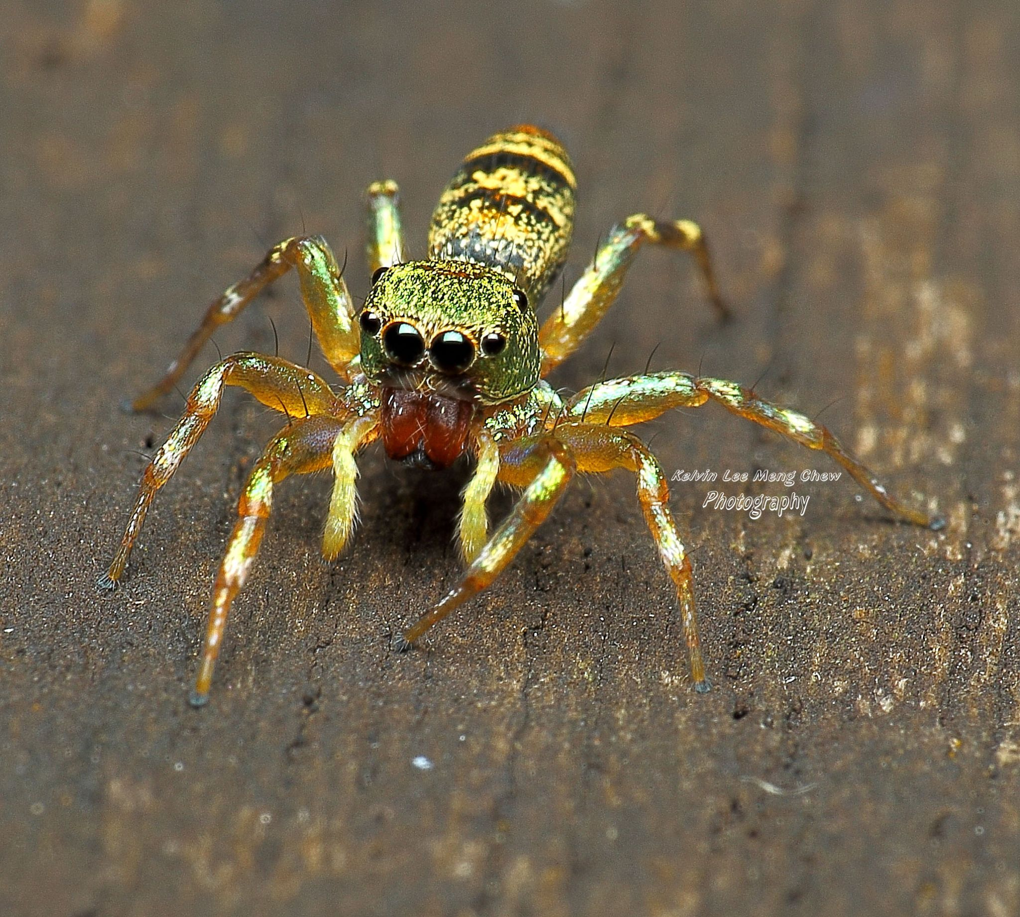 jumping spider by Kelvin Lee