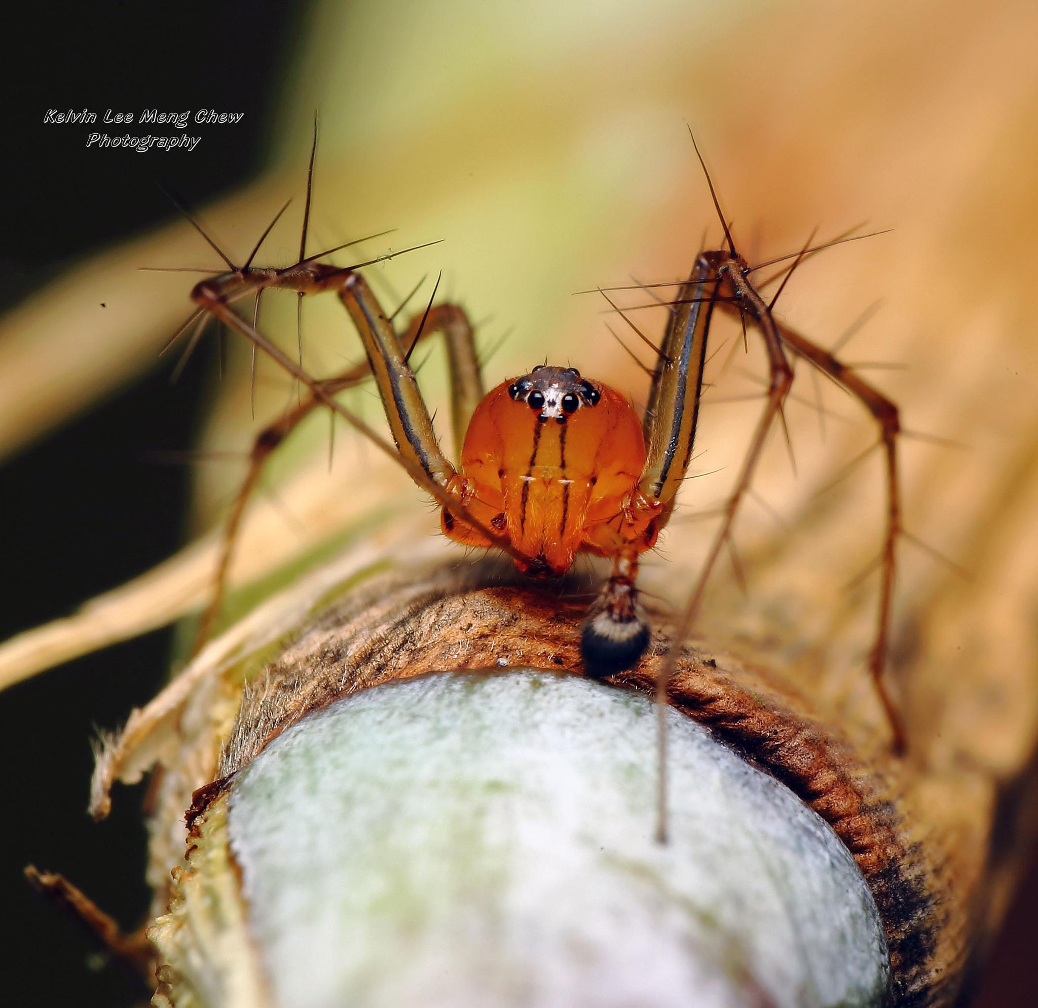 Lynx Spider by Kelvin Lee