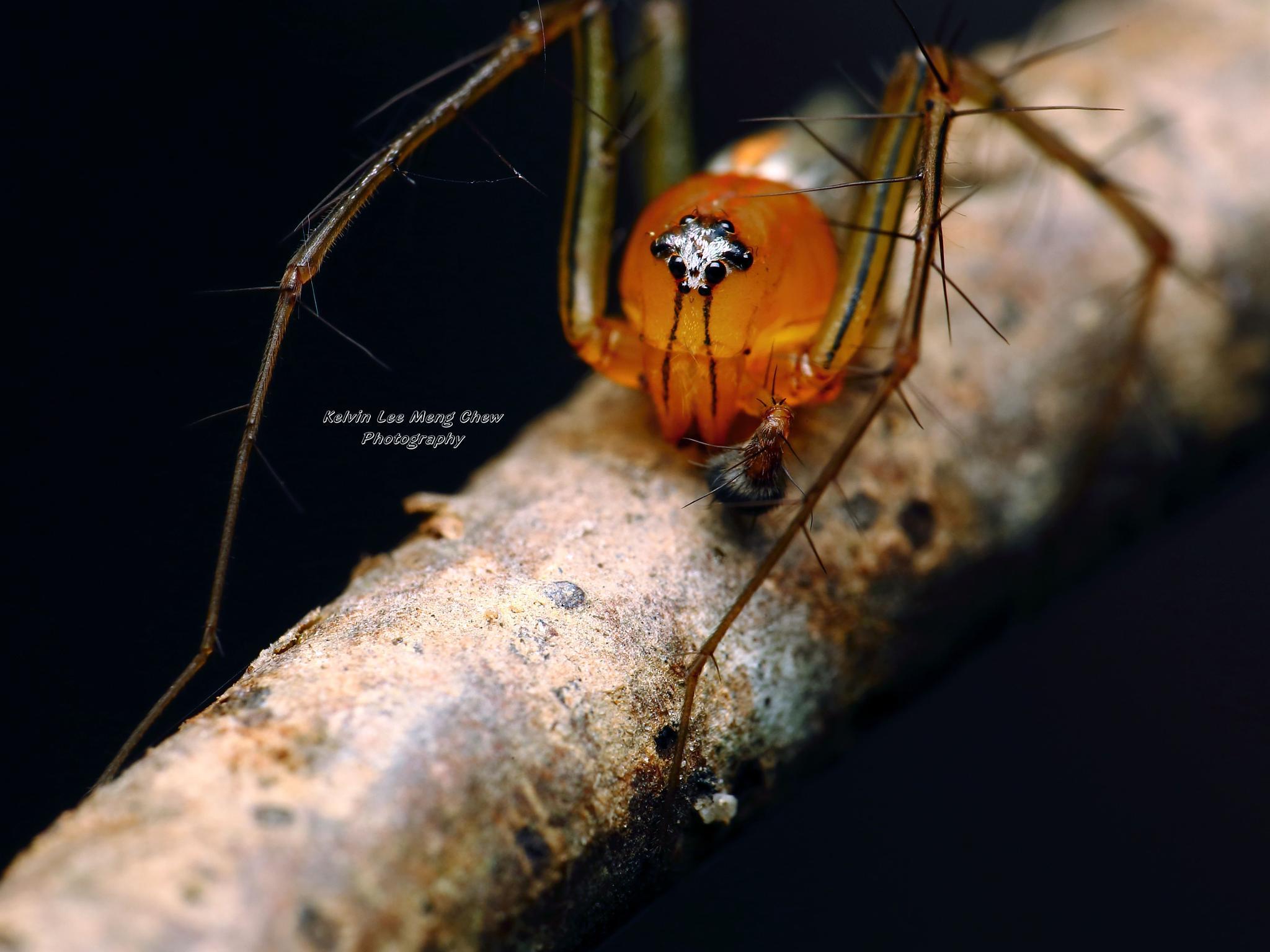 Lynx Spider by Kelvin Lee