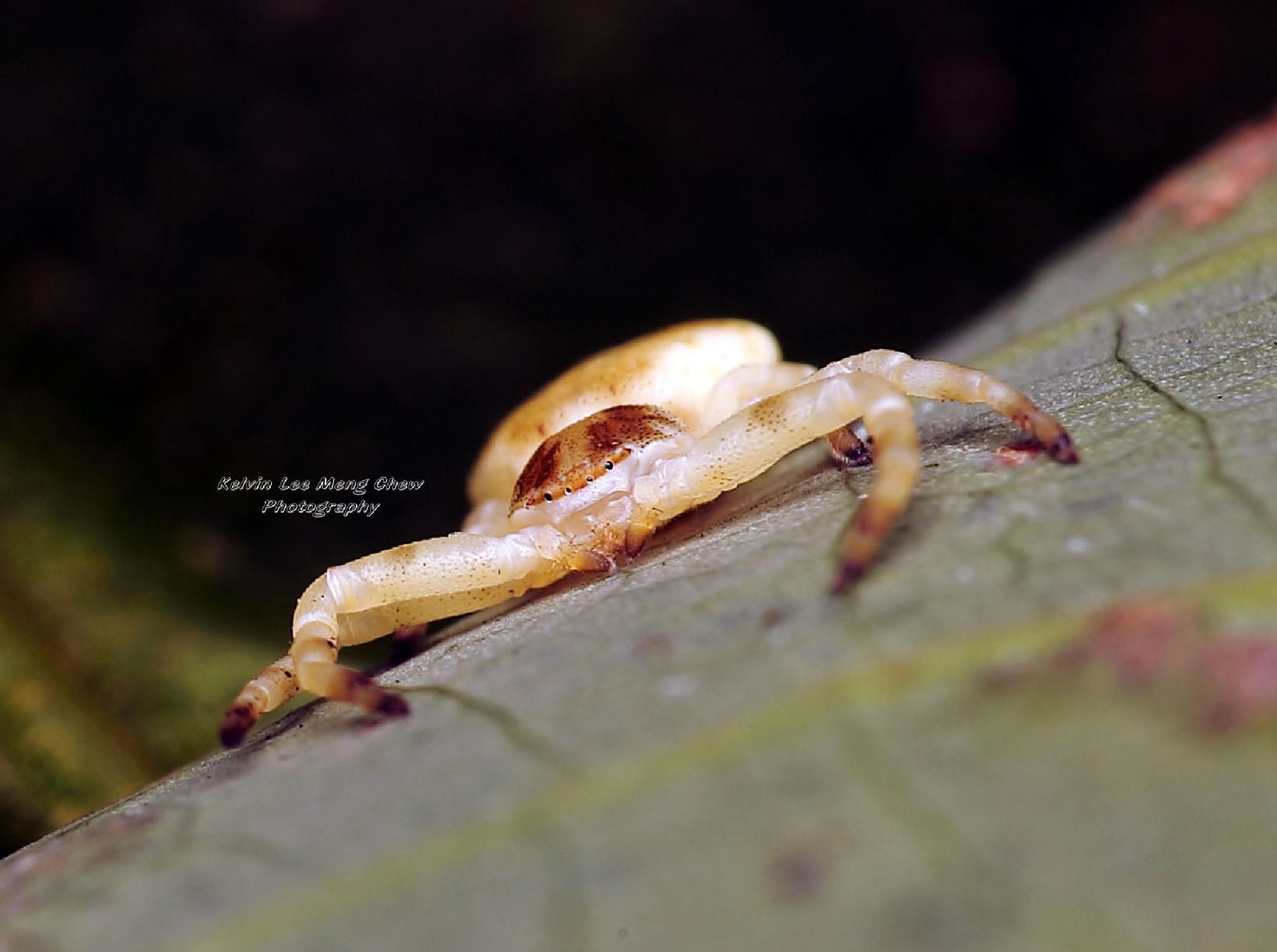 Crab spider by Kelvin Lee