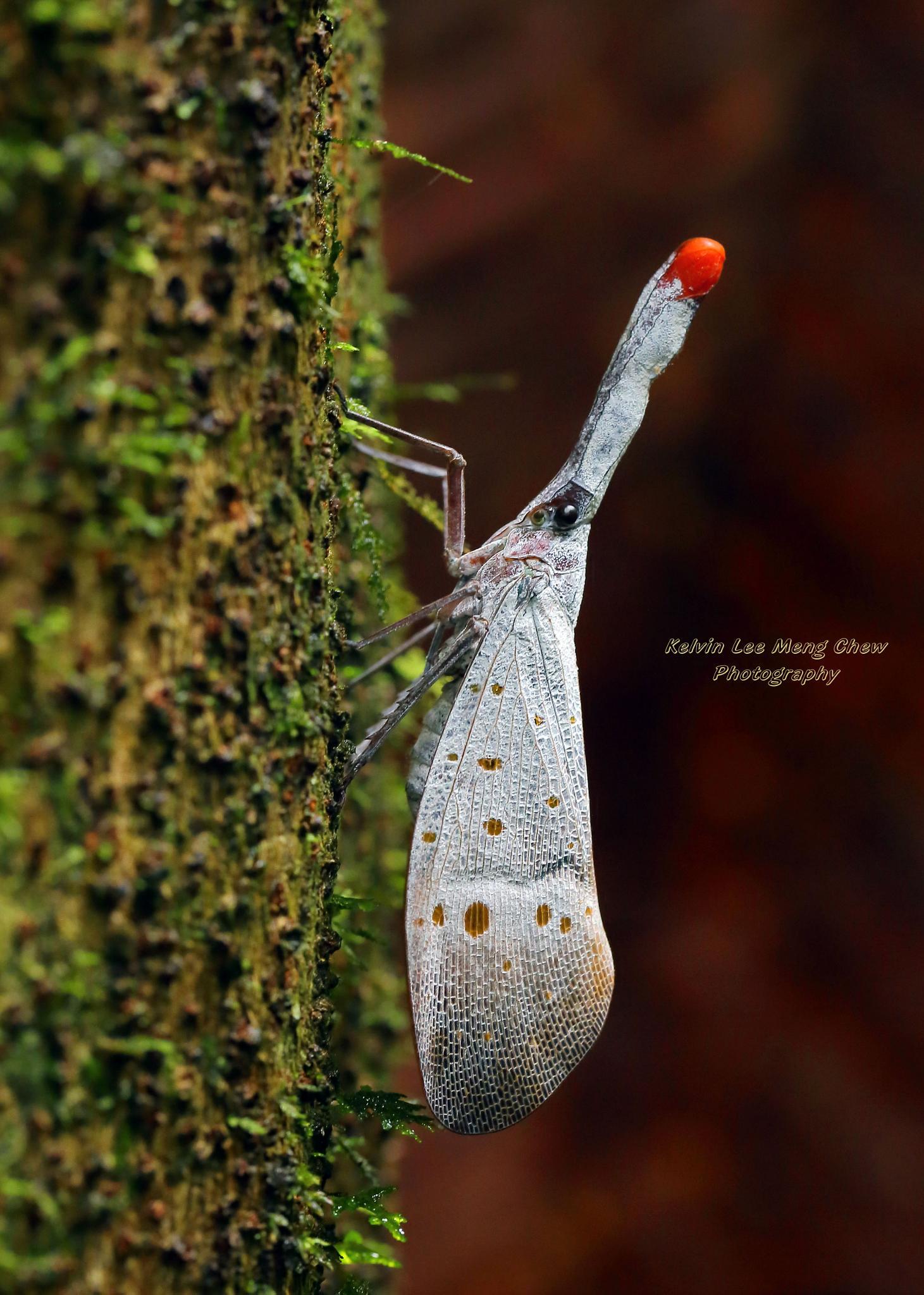 Lantern Bug by Kelvin Lee