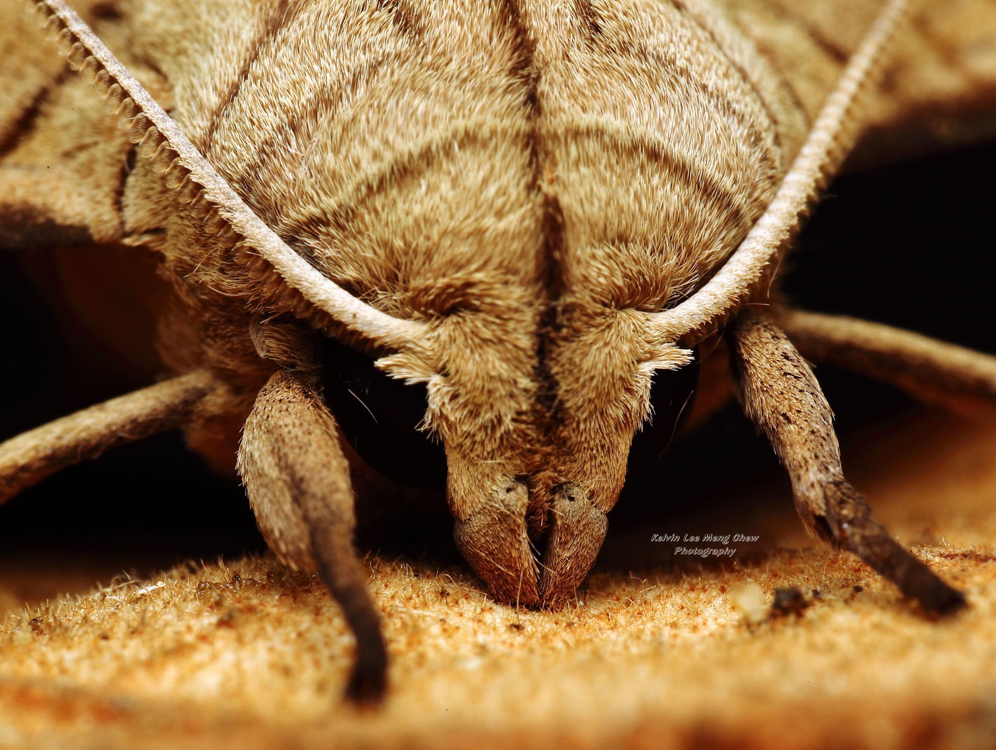 Hawk Moth by Kelvin Lee