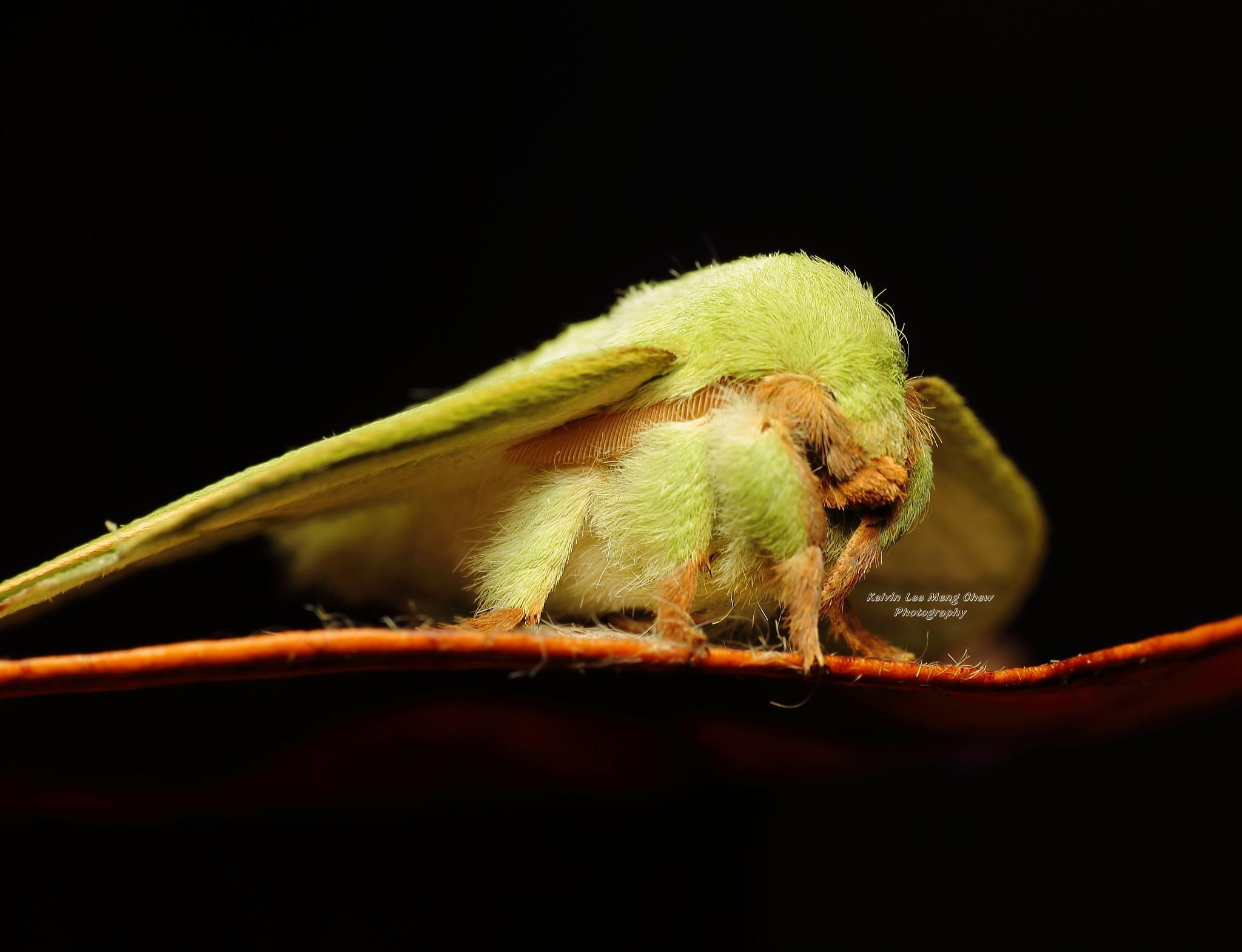 Lappet Moth by Kelvin Lee