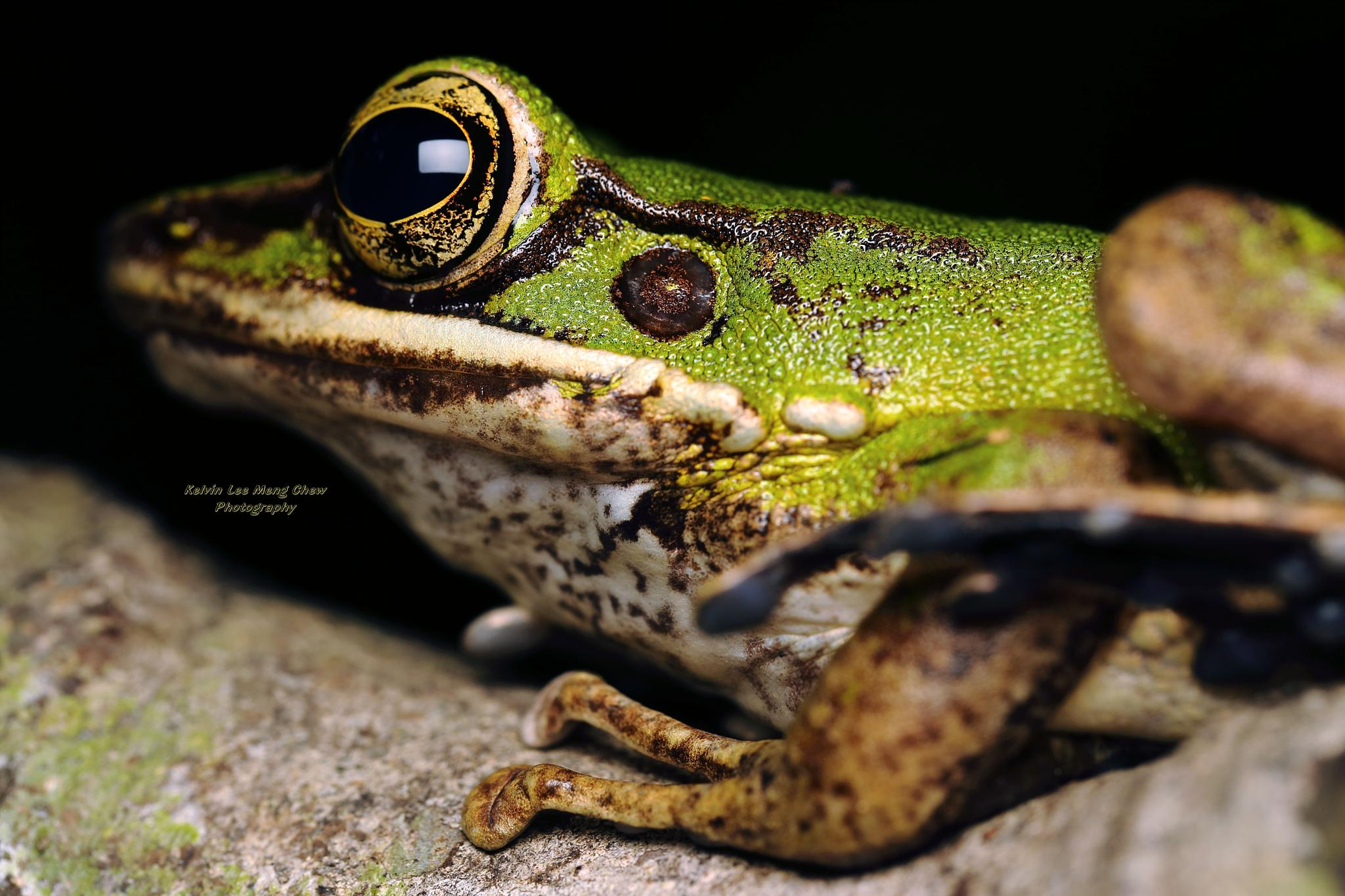 Frog by Kelvin Lee