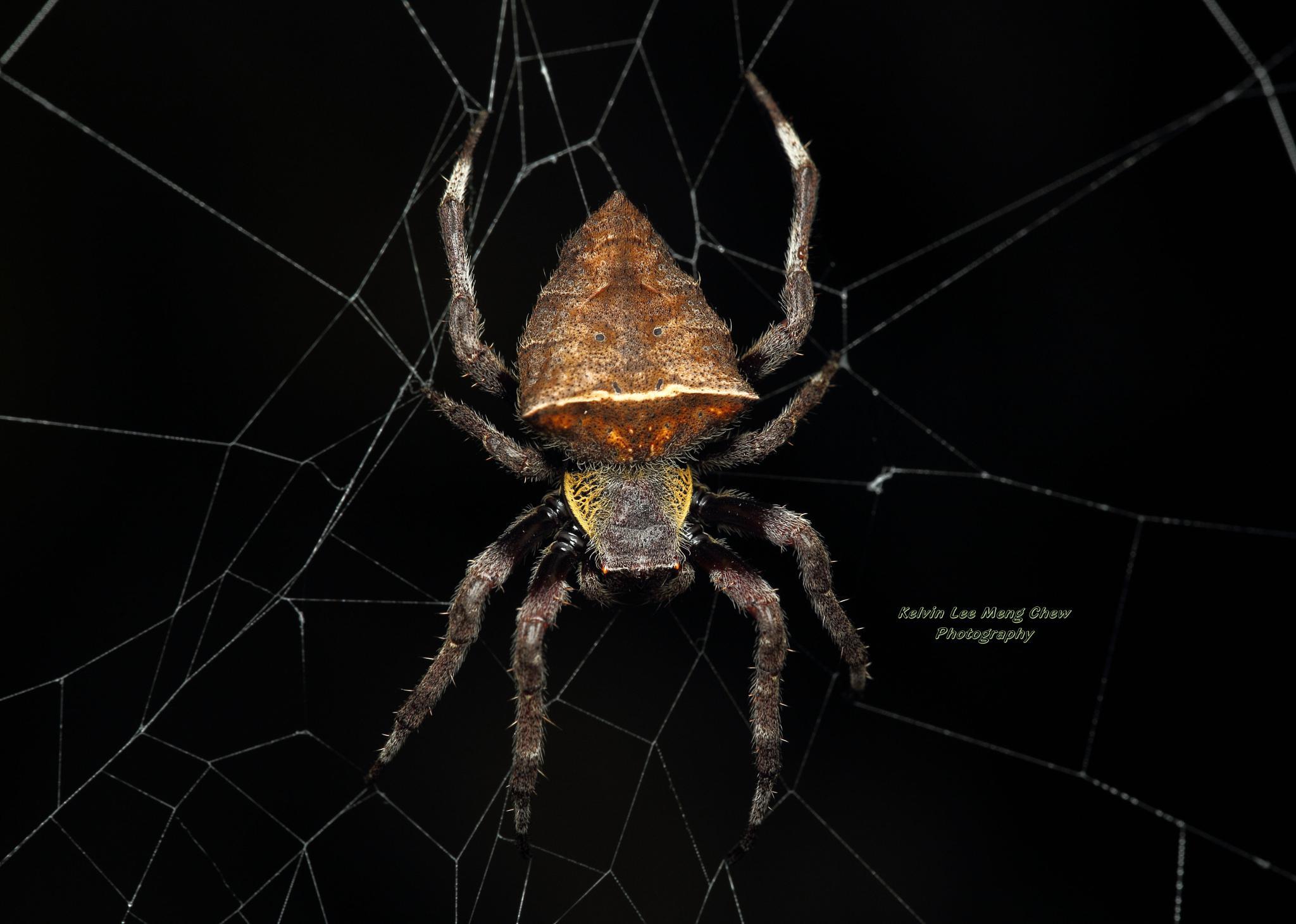 Garden Spider by Kelvin Lee