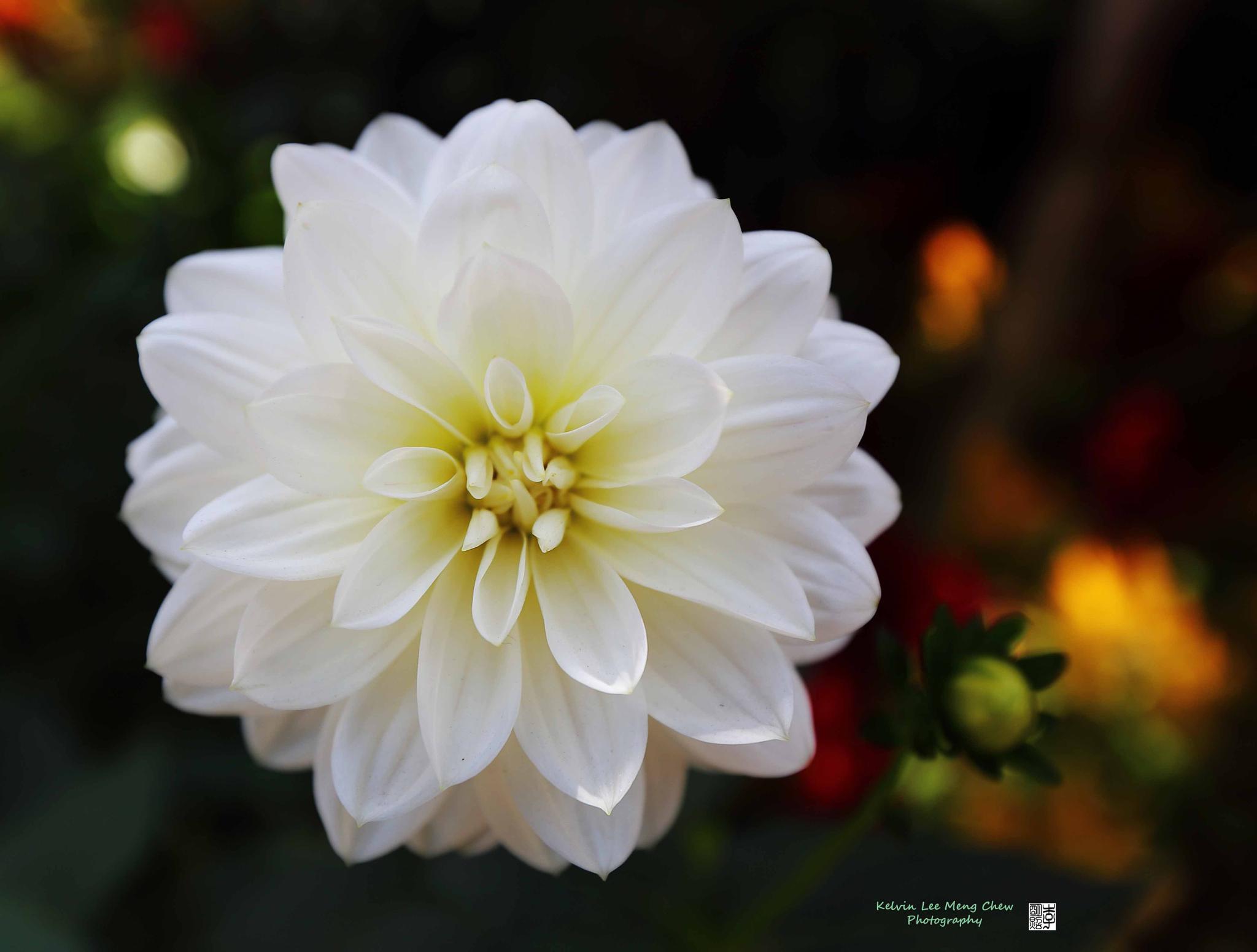 Flower by Kelvin Lee