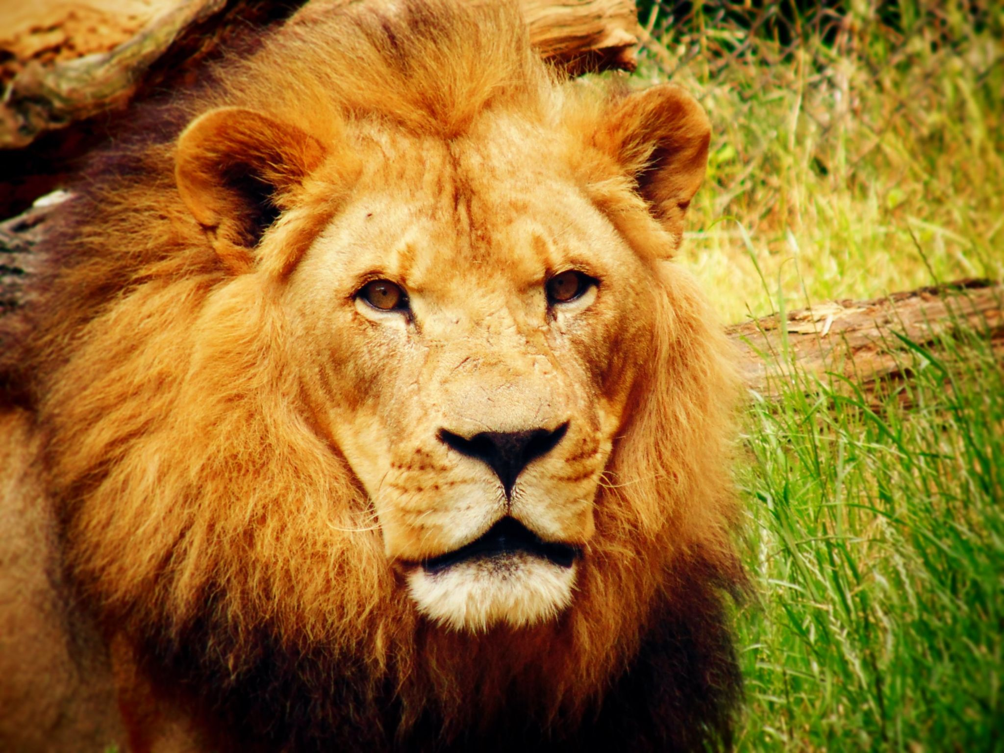 SuuZPhotography - Lion by SuuZPhotography