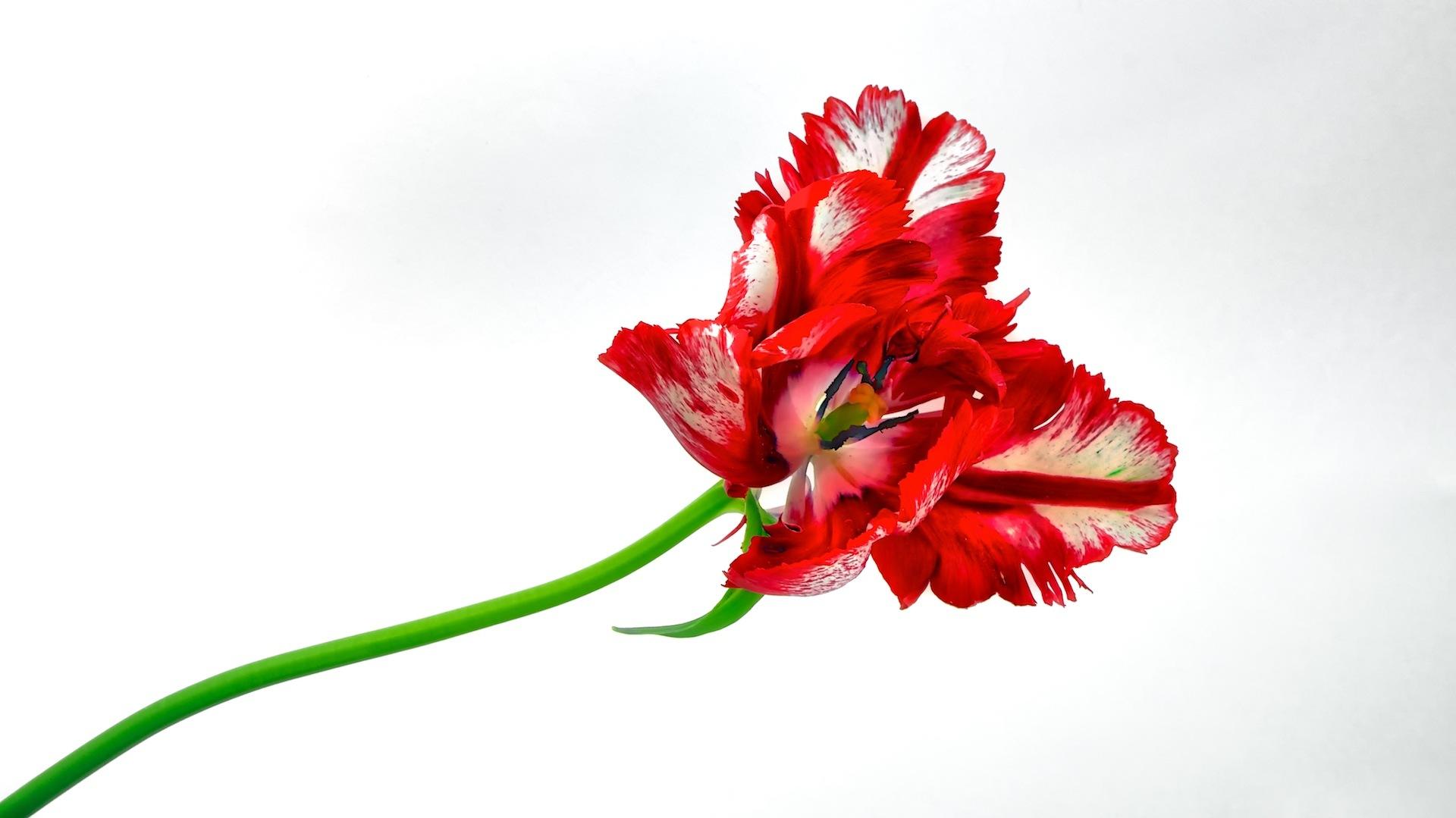 Tulip by Eduard Gorobets