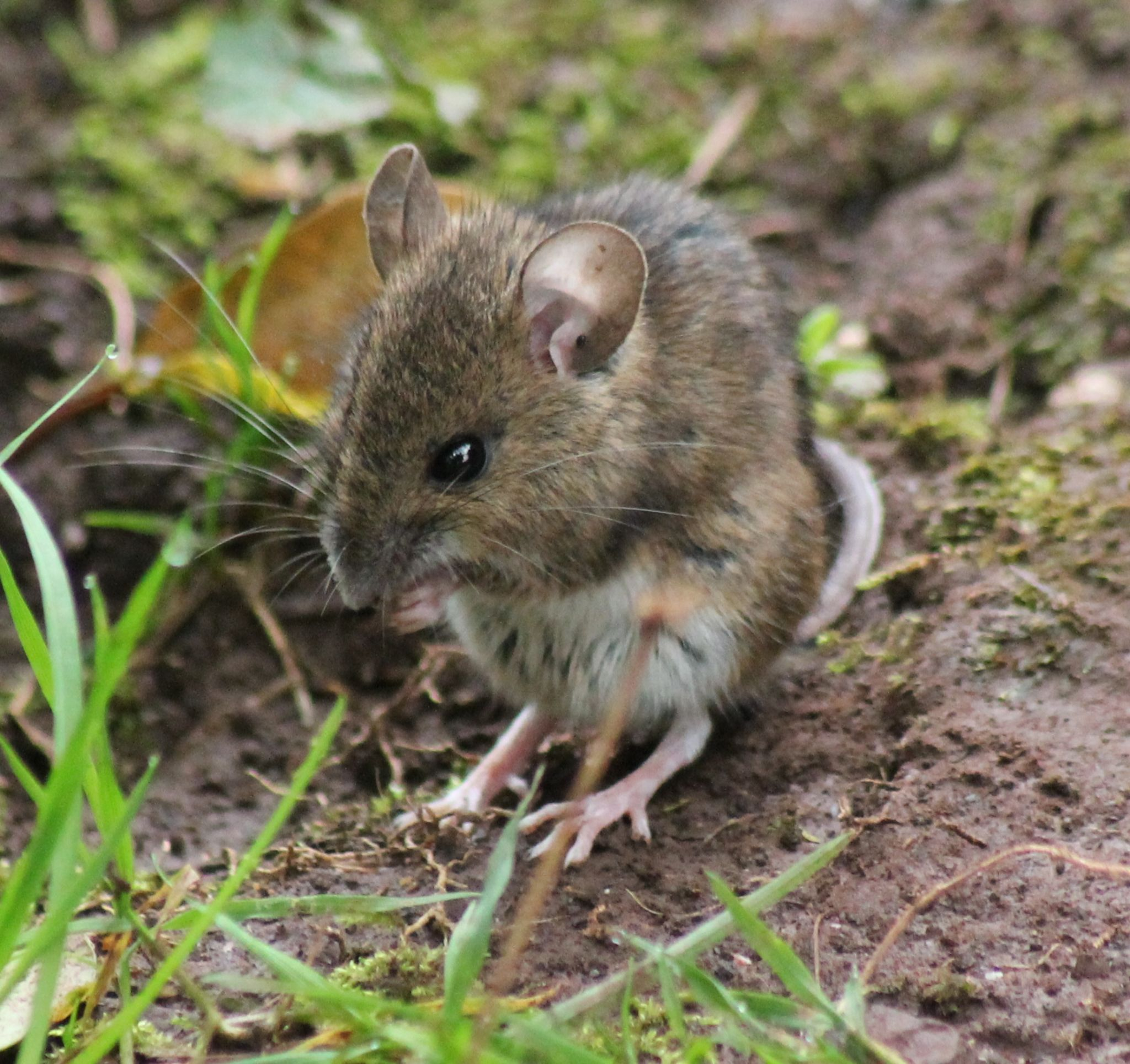 Field Mouse  by HawkEyePhotography