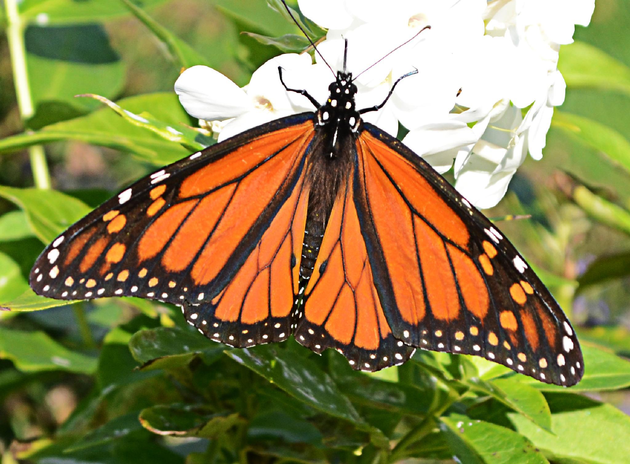 butterfly by kevin.burke.528