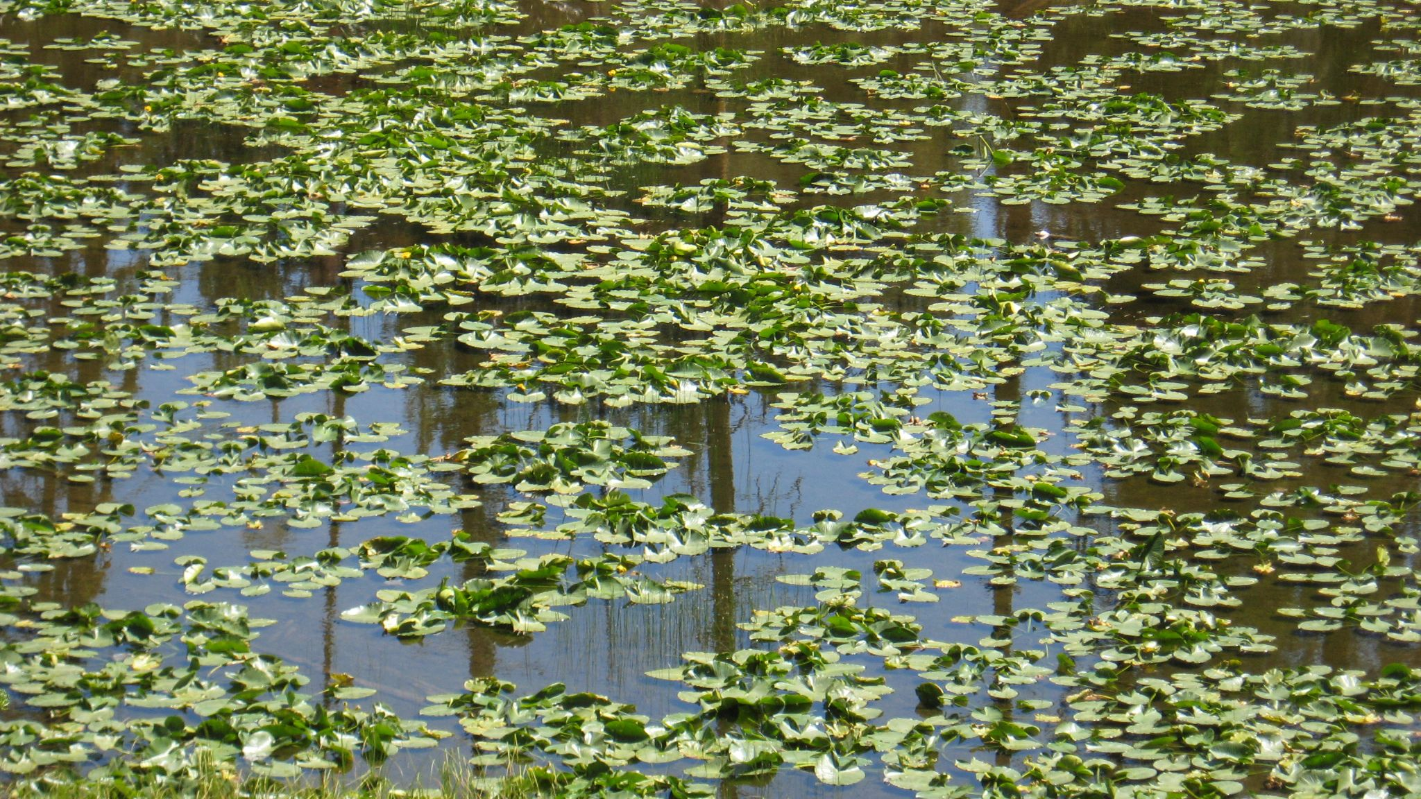 Lilly Pads by WinterMoonPhotography