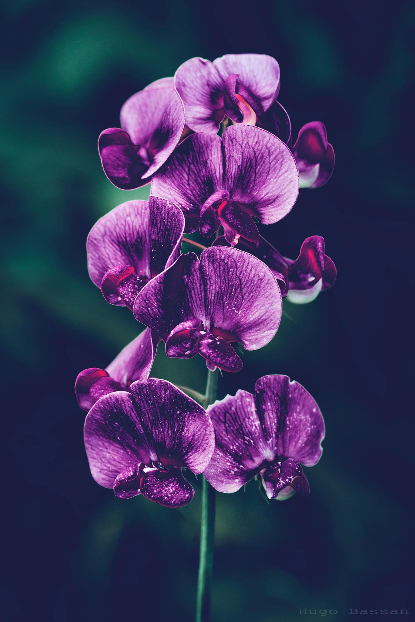 Dark Flower by Hugo Bassan