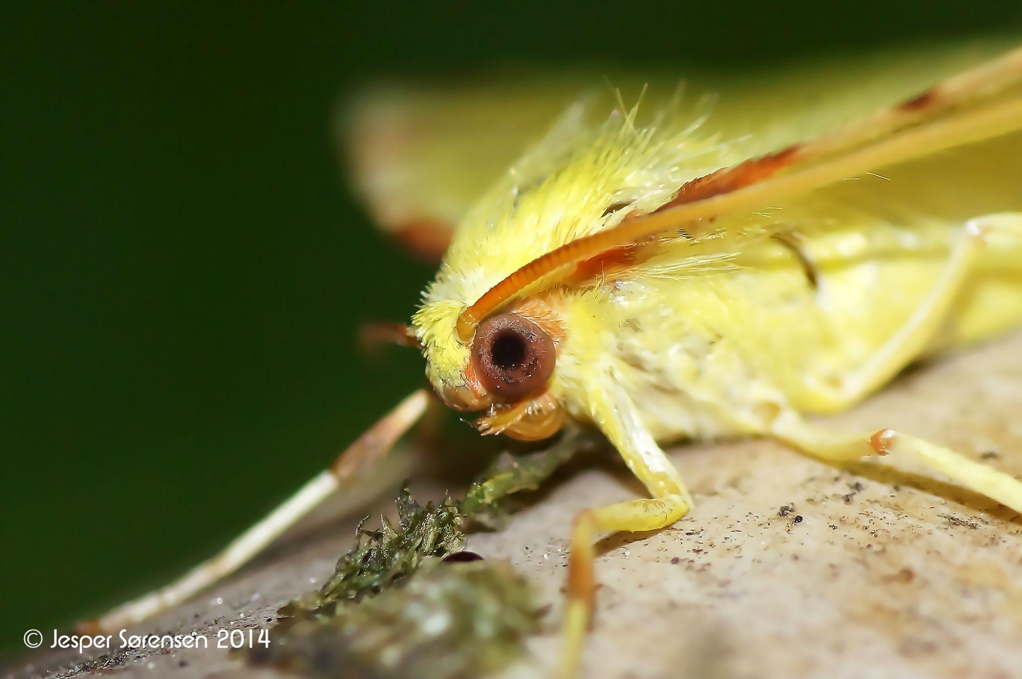 Yellow butterfly by Jesper Sorensen
