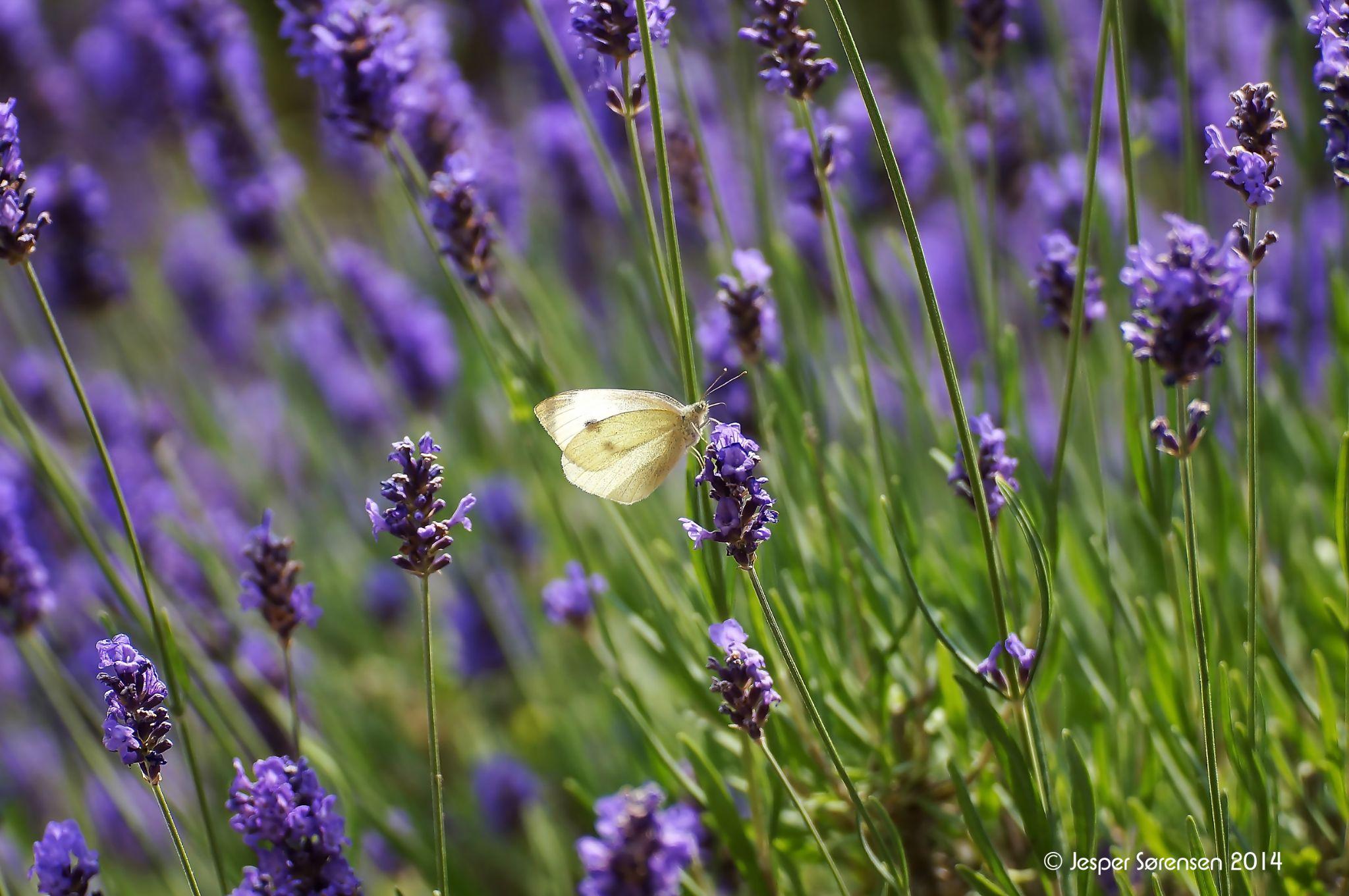 white butterfly by Jesper Sorensen