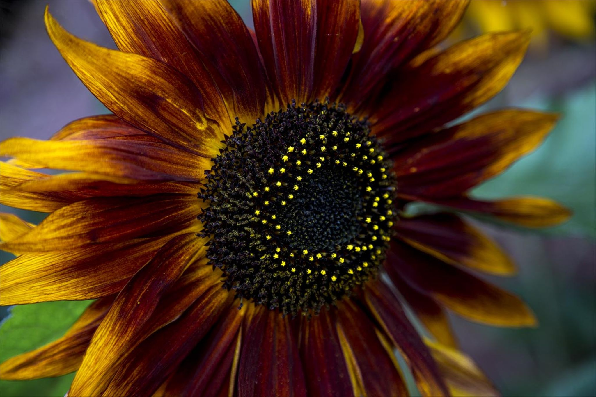 Sunflower by ian.bridgephotography