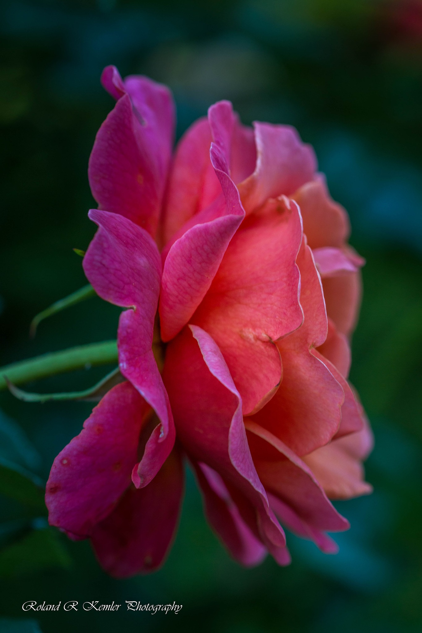 The Rose by Roland R Kemler