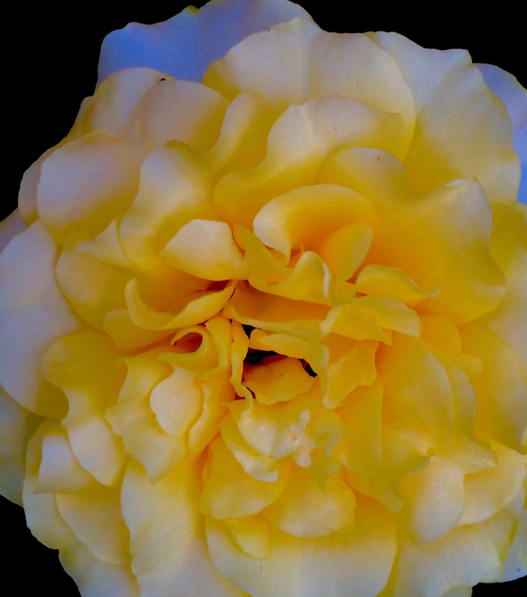 yellow Rose...Doris Day Rose by tdurard