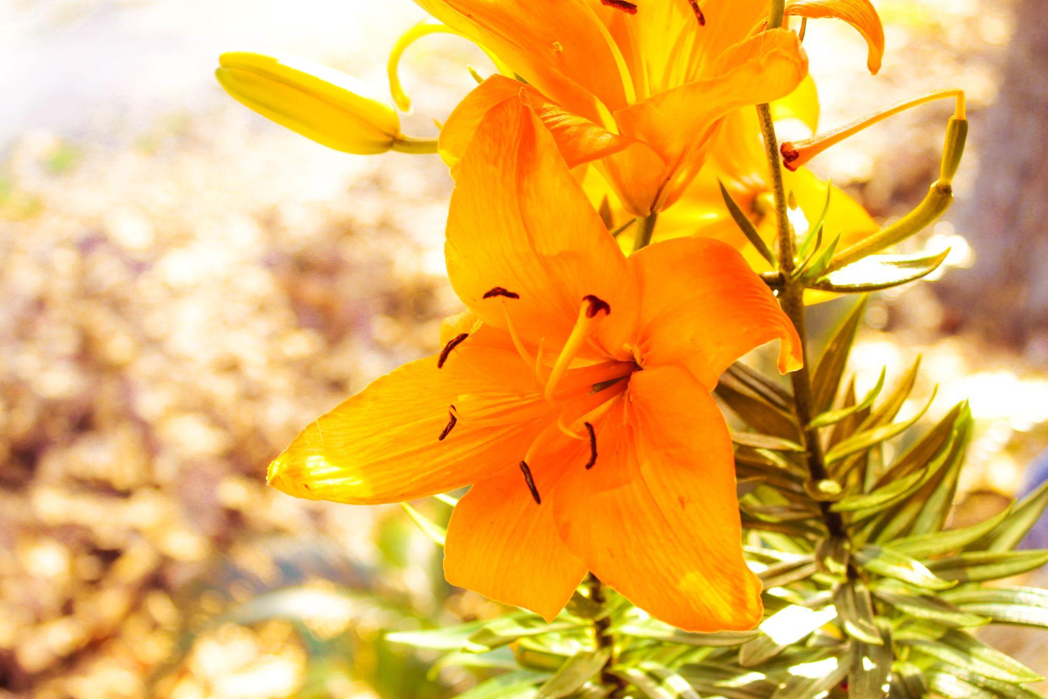 Orange Lillies by singingwaterphotography