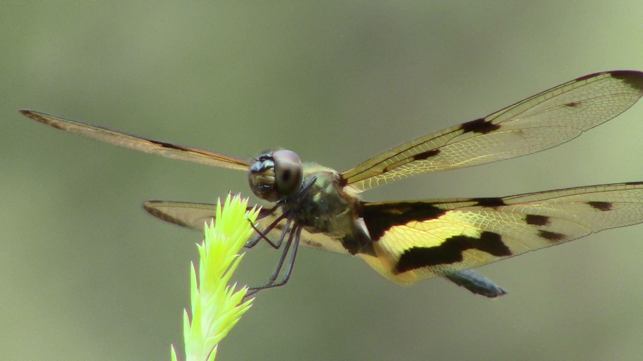 Dragon Fly by jojo george