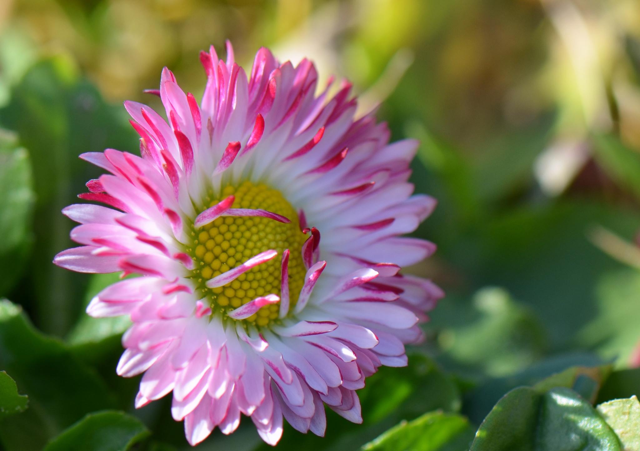 Photo in Macro #daisy