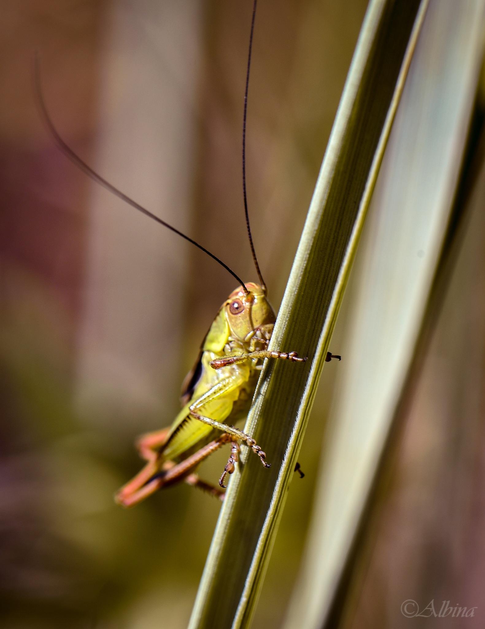 grasshopper by Albina