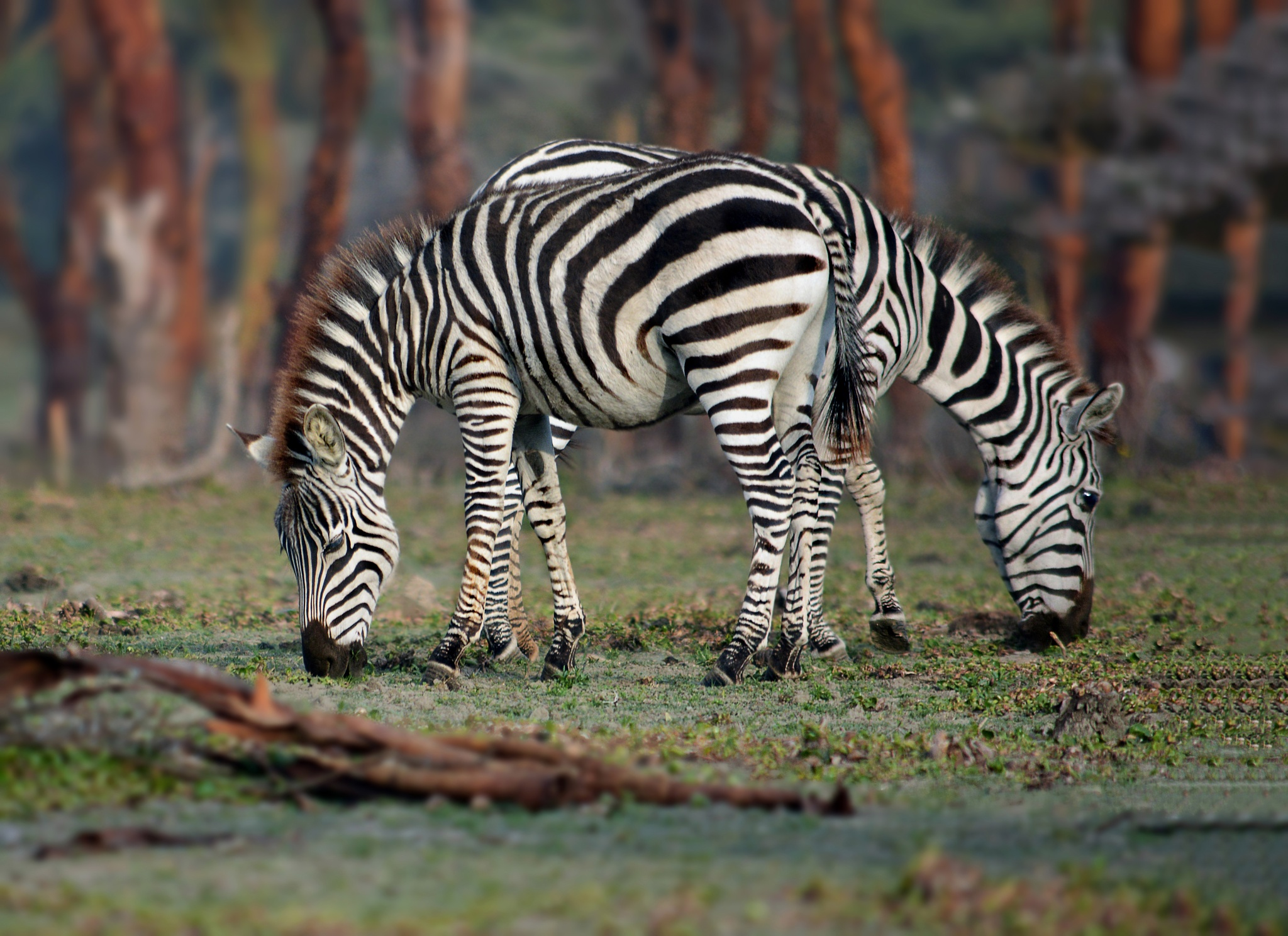 Twin zebra . by Ibrahim.Najjar