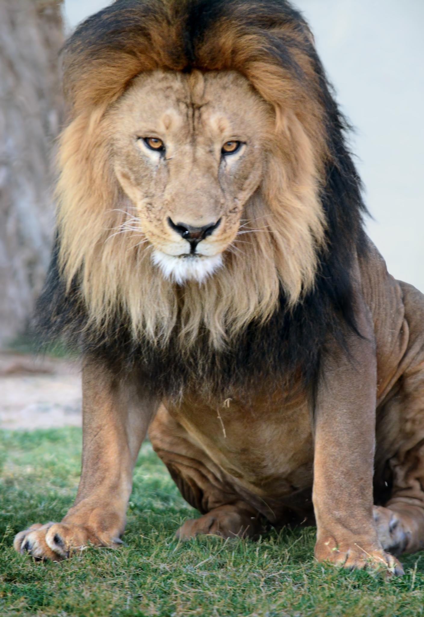 Lion - 11 by Ibrahim.Najjar