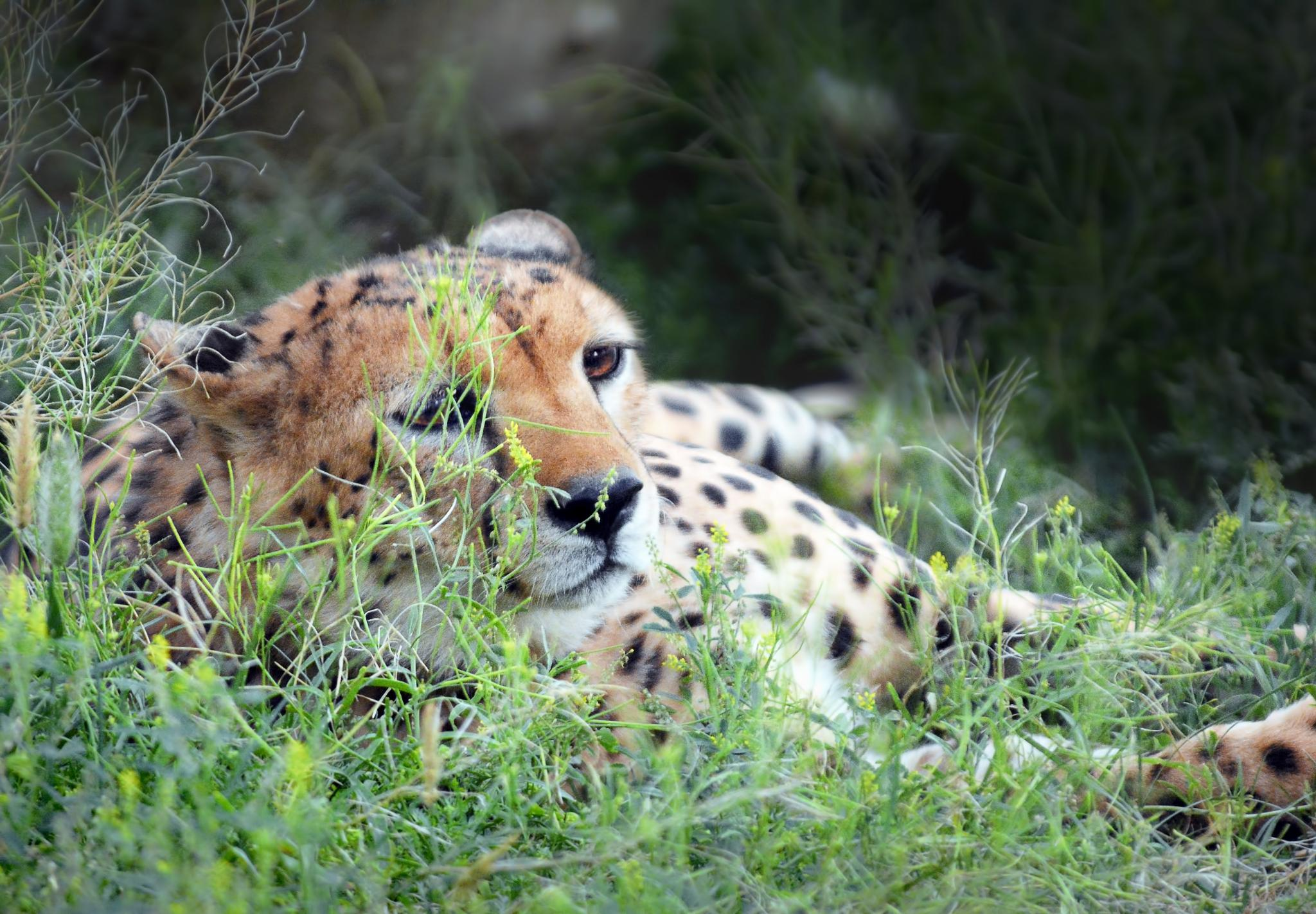 Relaxing Cheetah by Ibrahim.Najjar