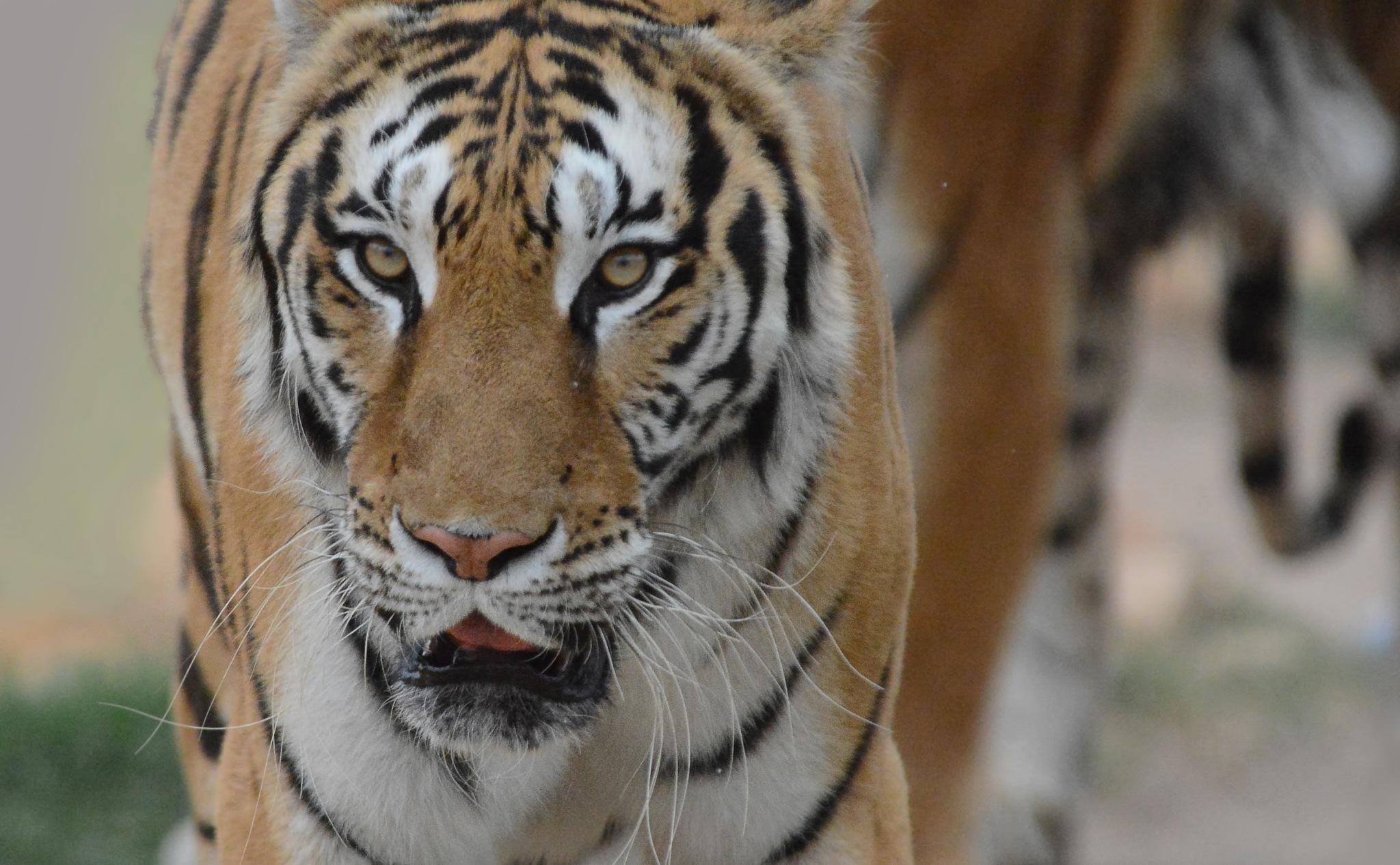 Face the tiger . by Ibrahim.Najjar