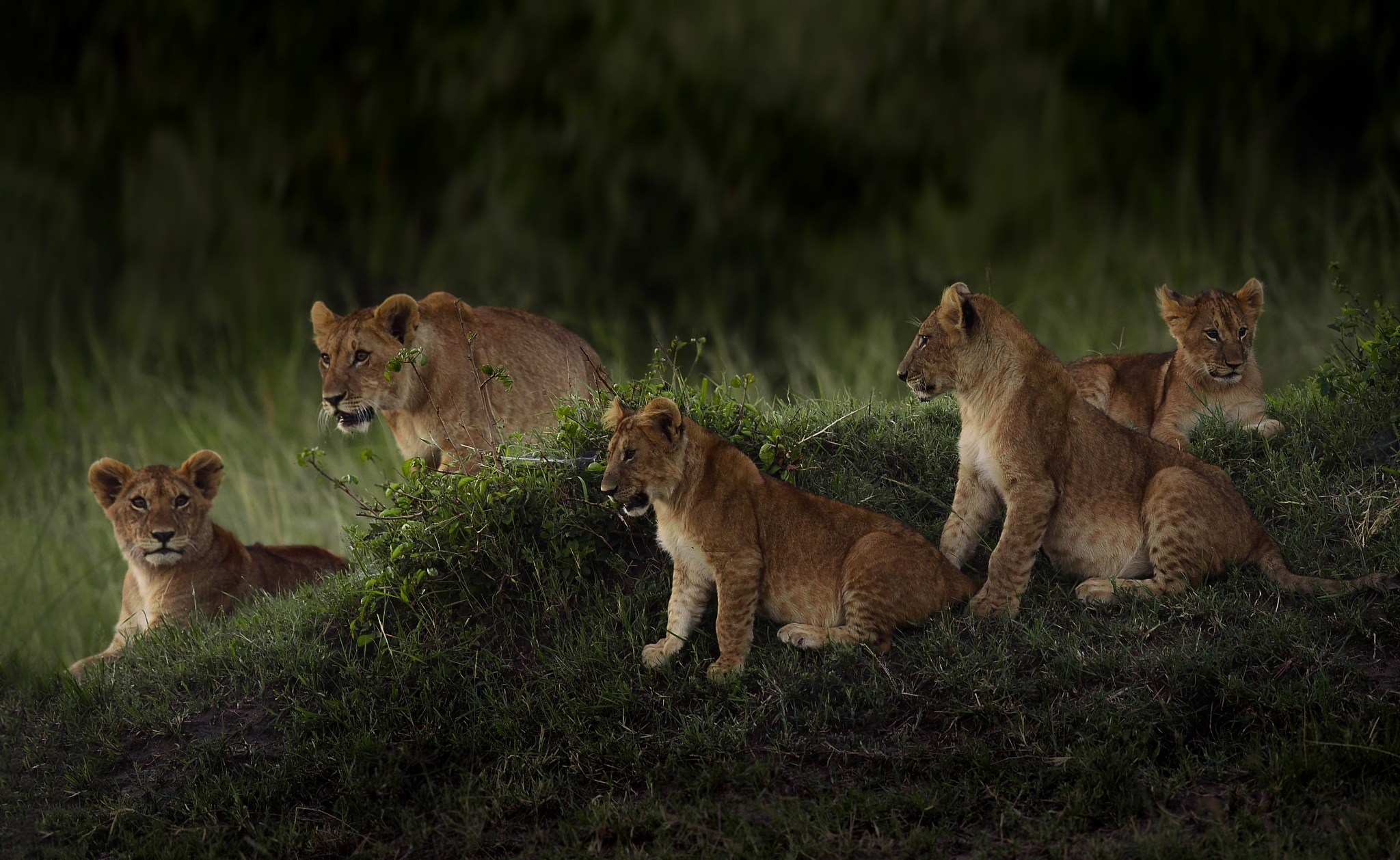 Lion family . by Ibrahim.Najjar