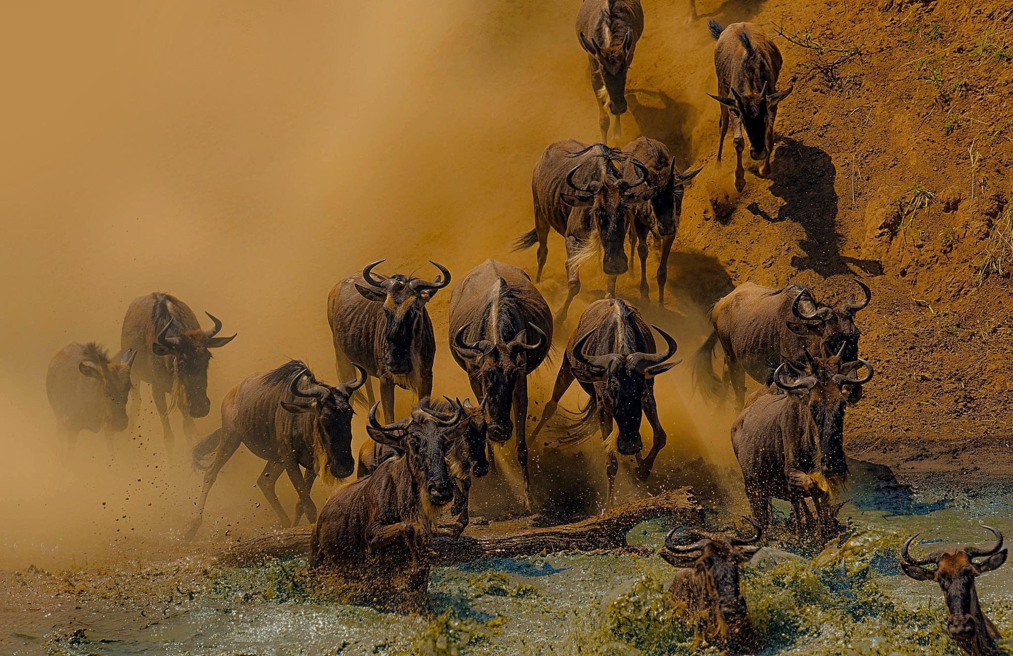 Crossing the river. mara river - great migration - Kenya  by Ibrahim.Najjar