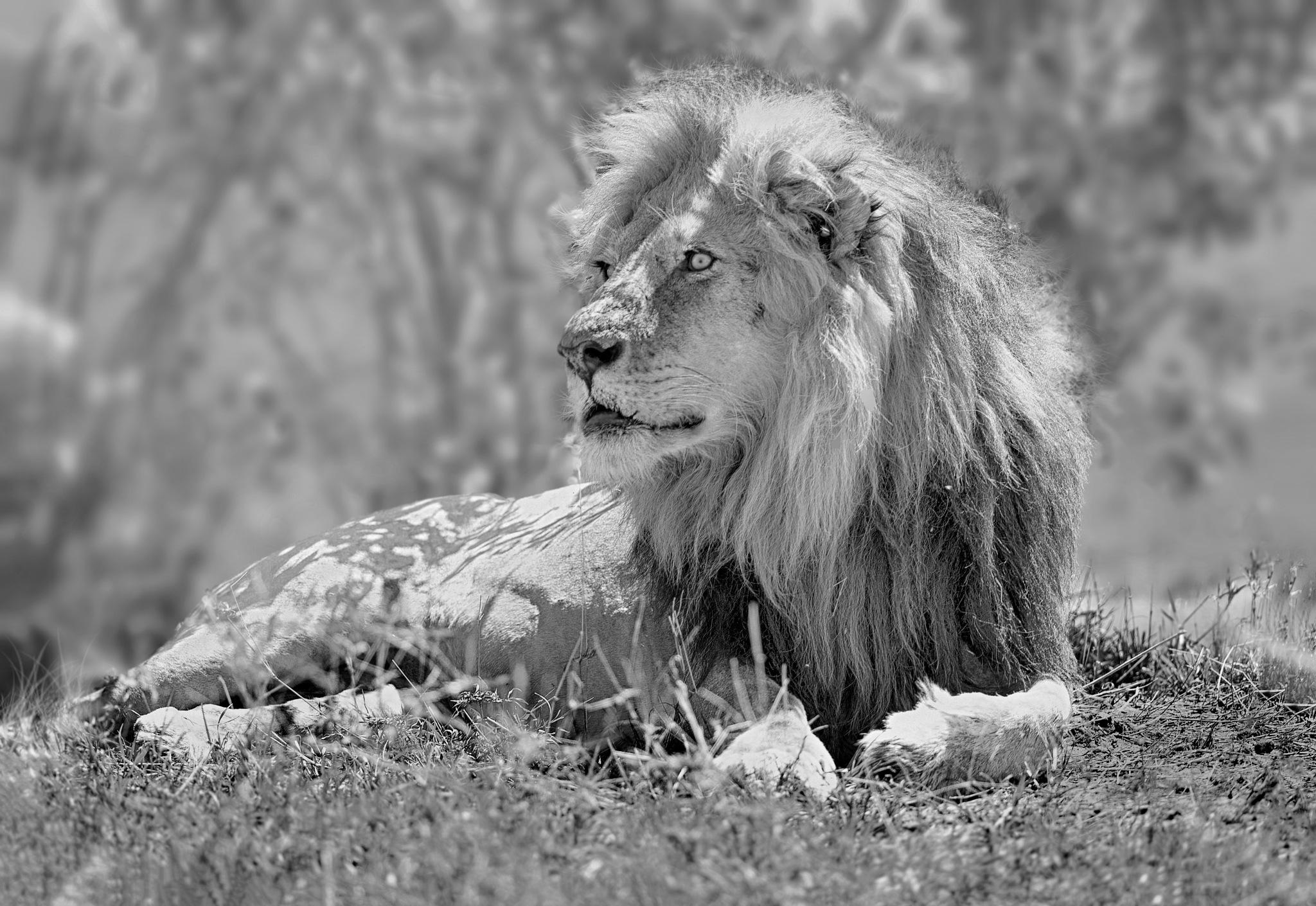 lion king  by Ibrahim.Najjar