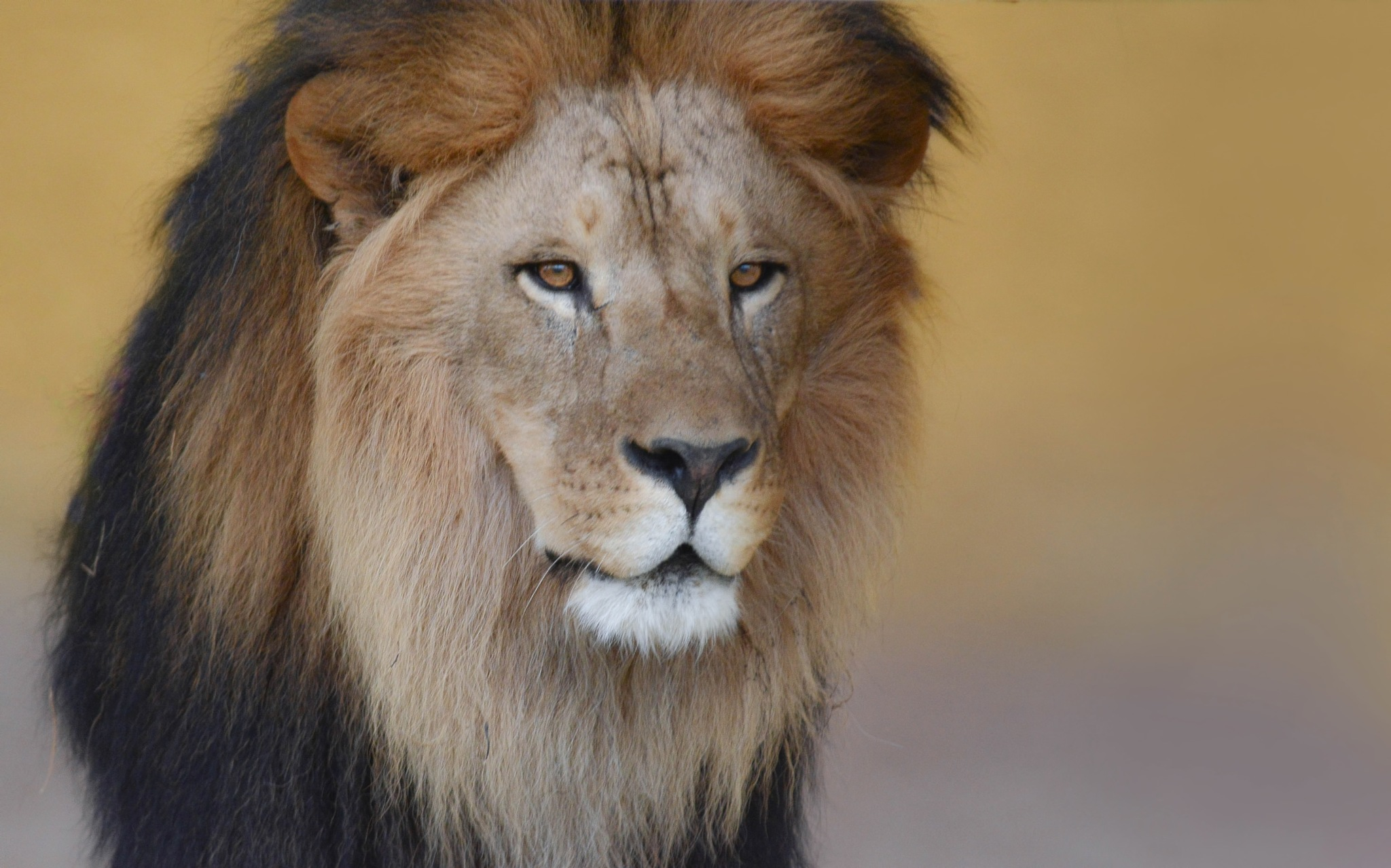 Mara lion . by Ibrahim.Najjar