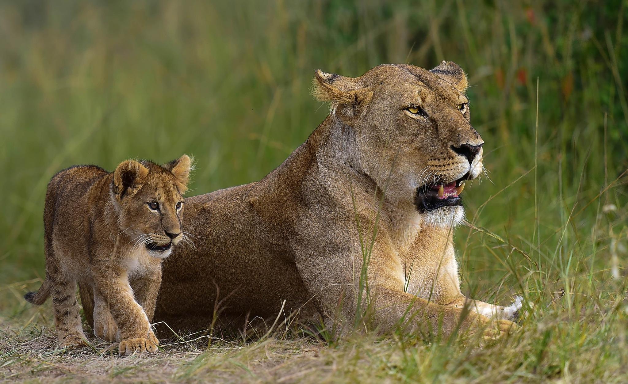 Real Simba and Sarabi at Masai mara . by Ibrahim.Najjar