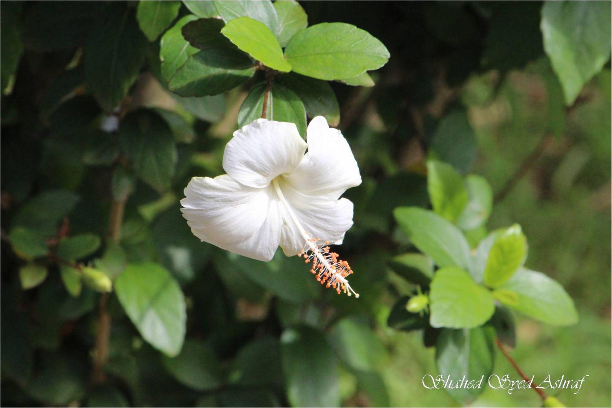 Joba- White Hibiscus by Shahed Syed Ashraf