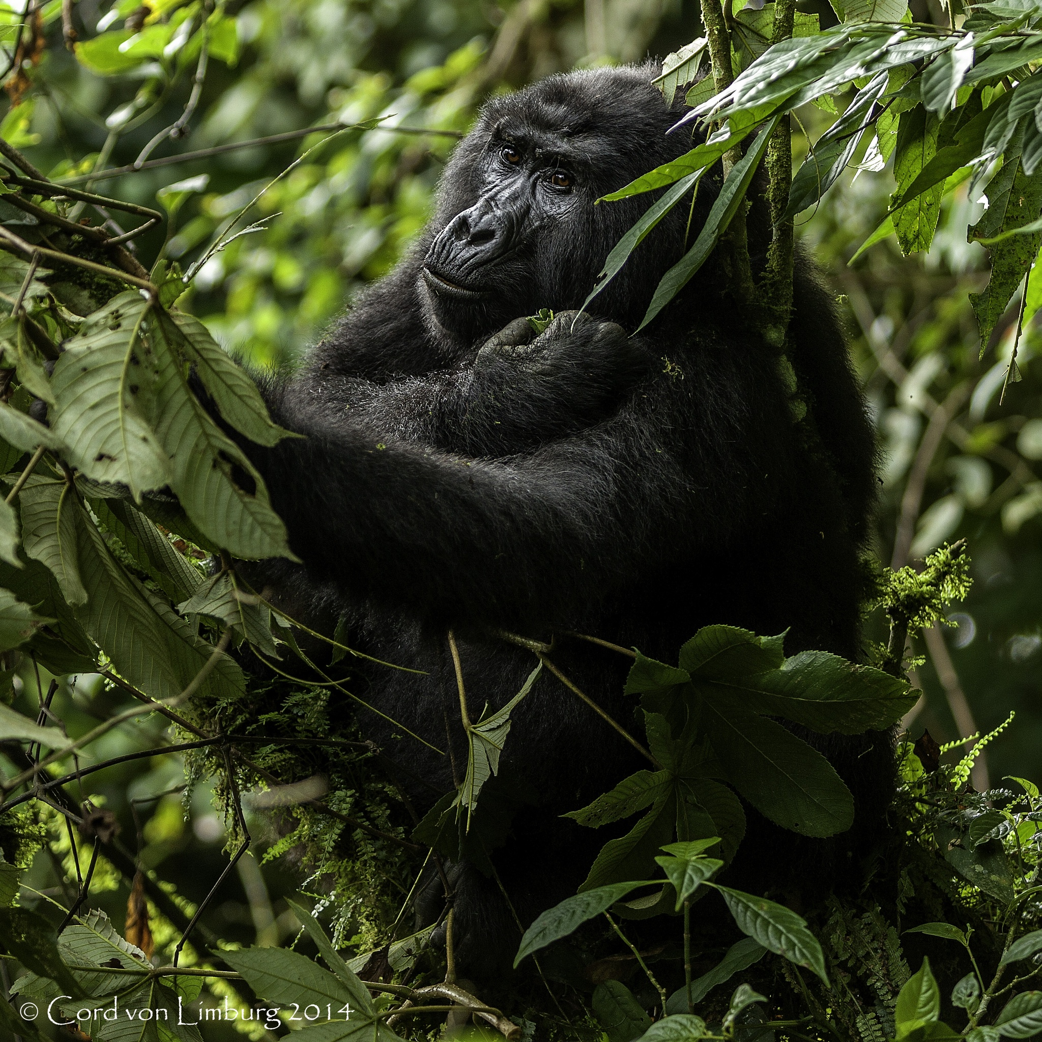 Gorilla Lady eating in the trees by Cord von Limburg