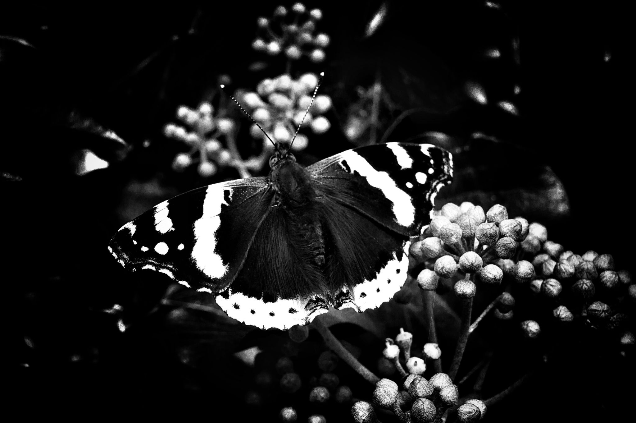 black red admiral  by Patrick McMahon