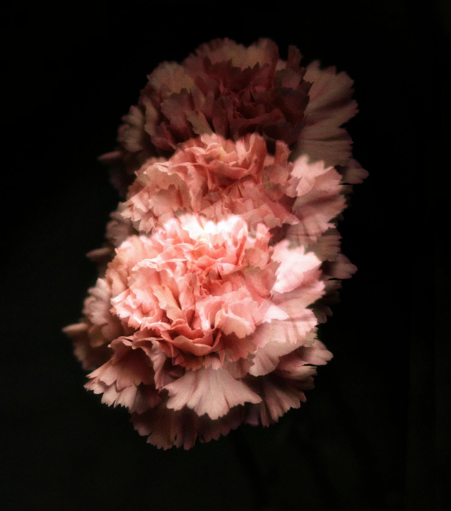 Carnations by YLYI Photography
