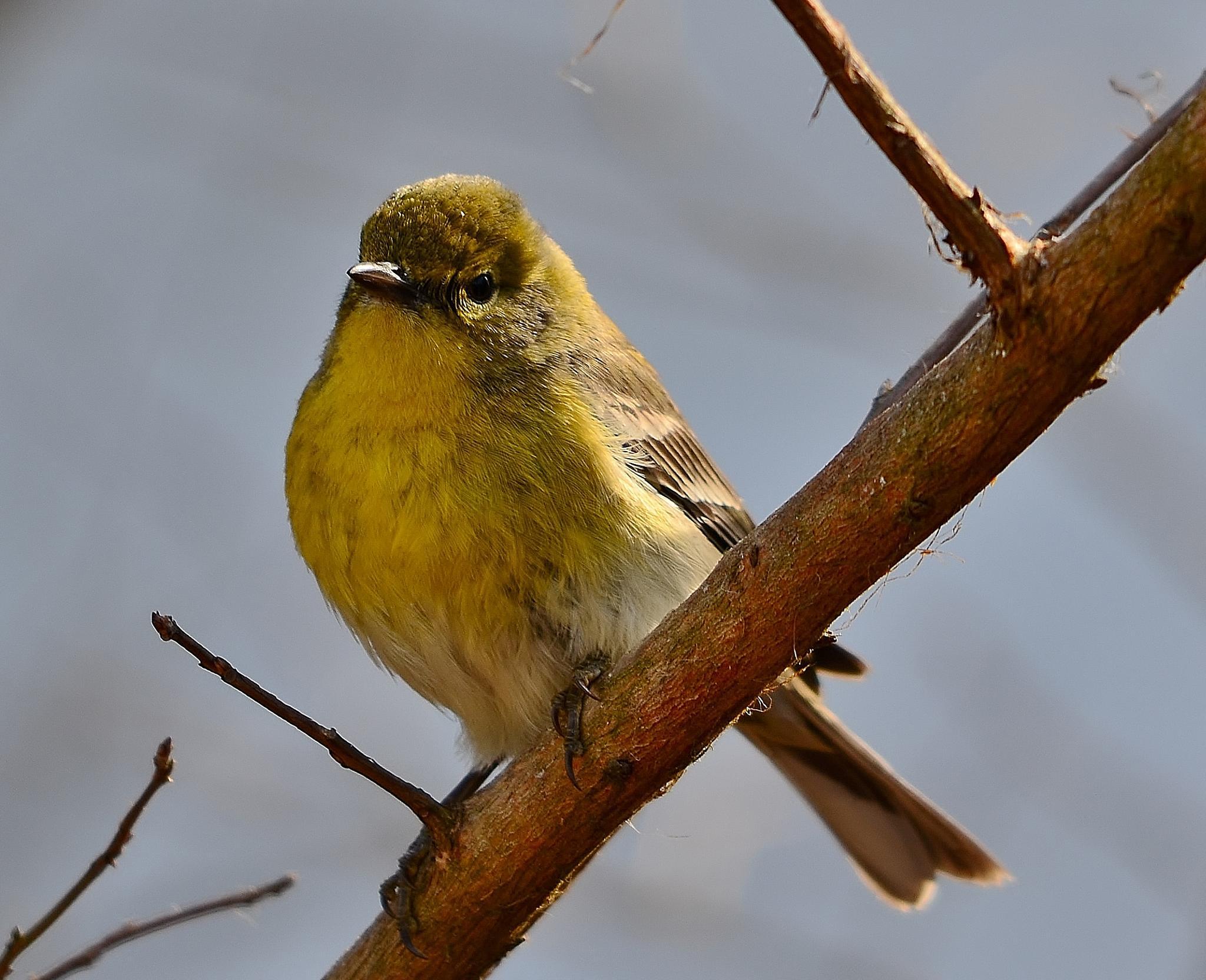 Pine Warbler by Alan Hammond