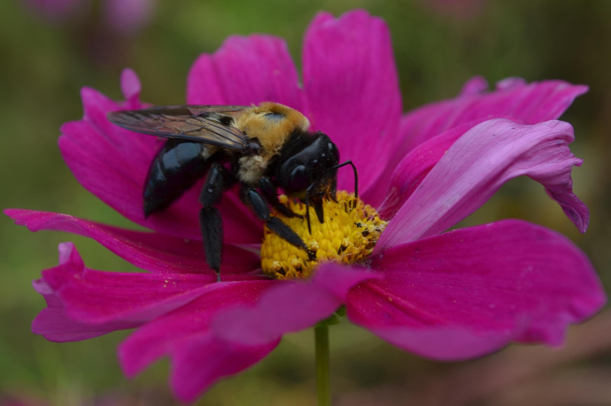 Bee On Cosmos by Alan Hammond