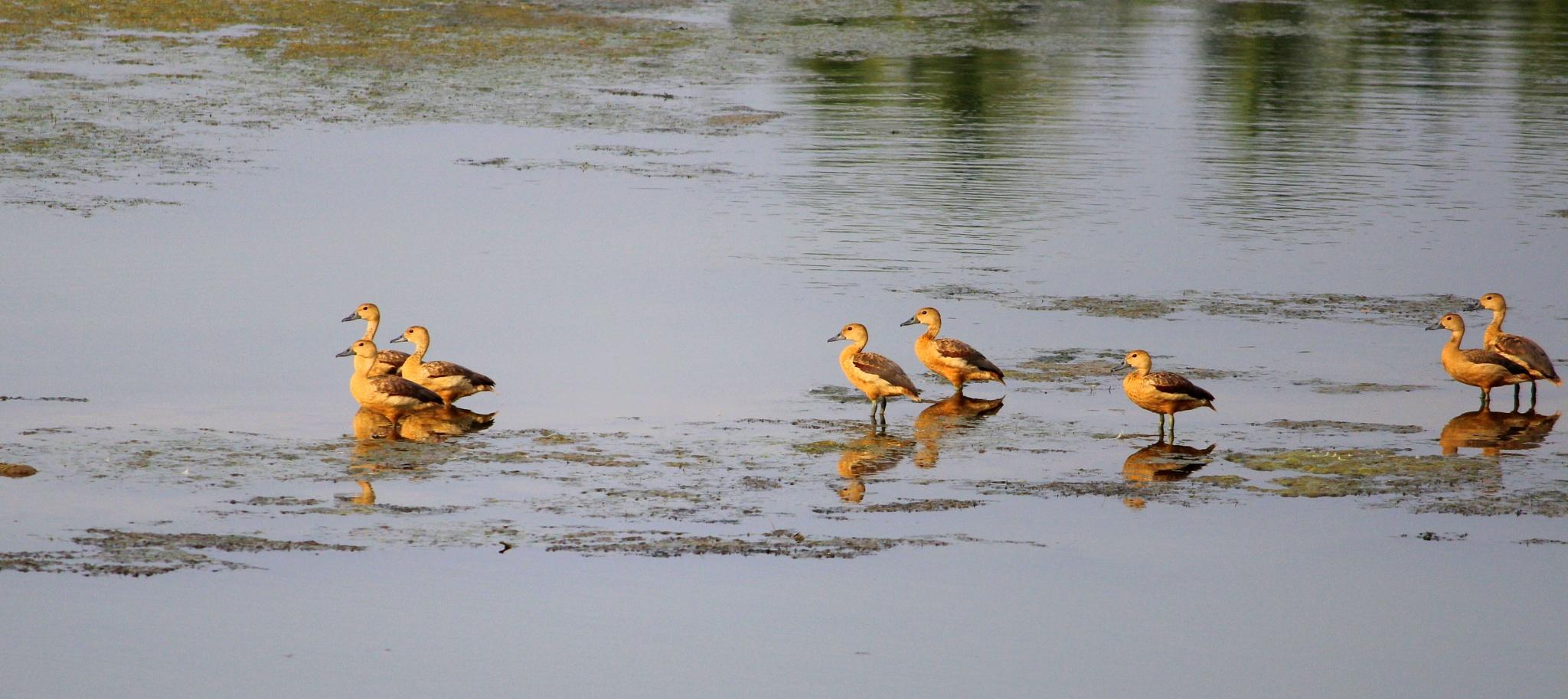 The Ducks  by Harshvardhaan Deshmukh