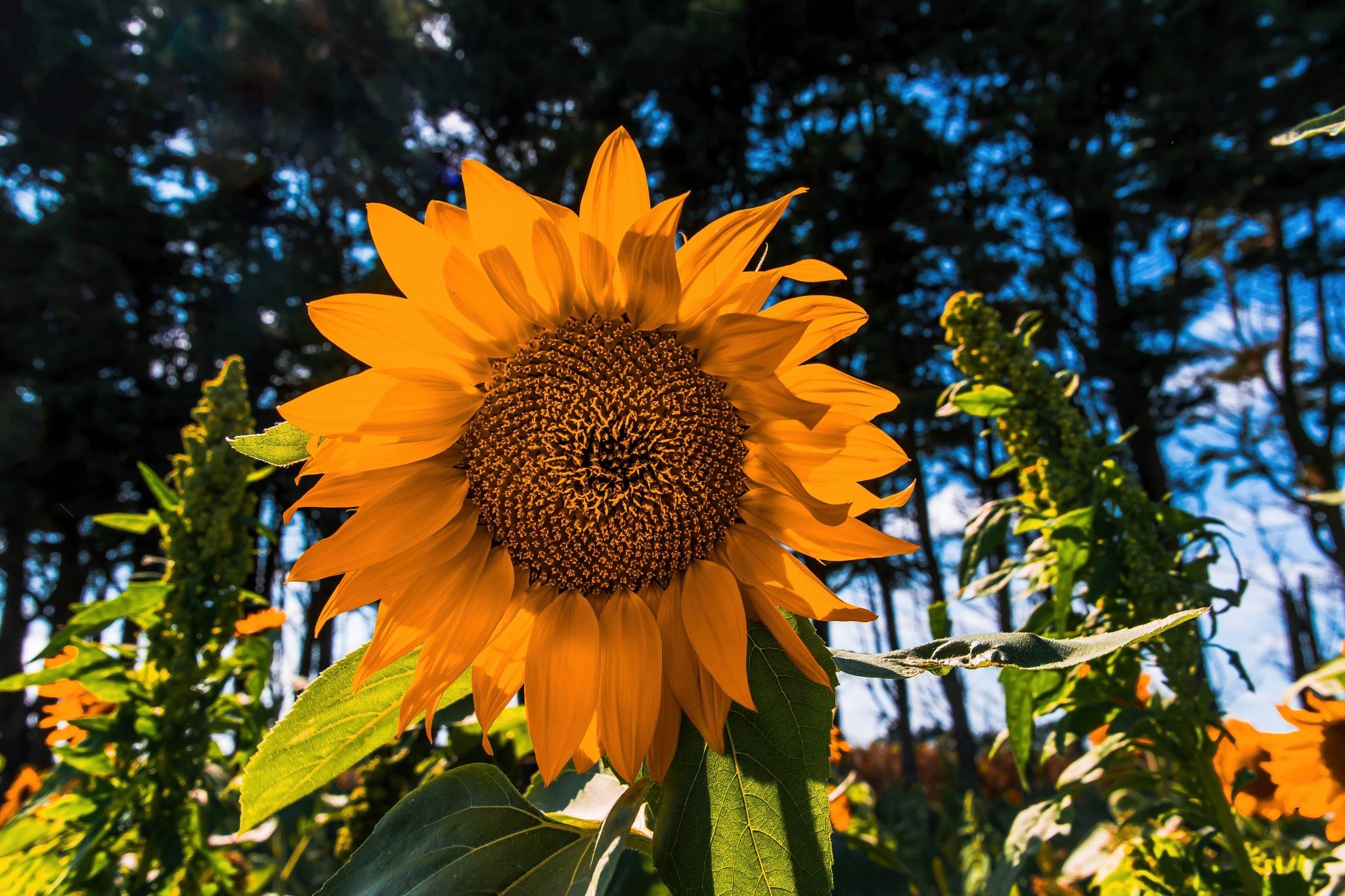 Helianthus or Sunflower  by Lightpimp - akadodjer