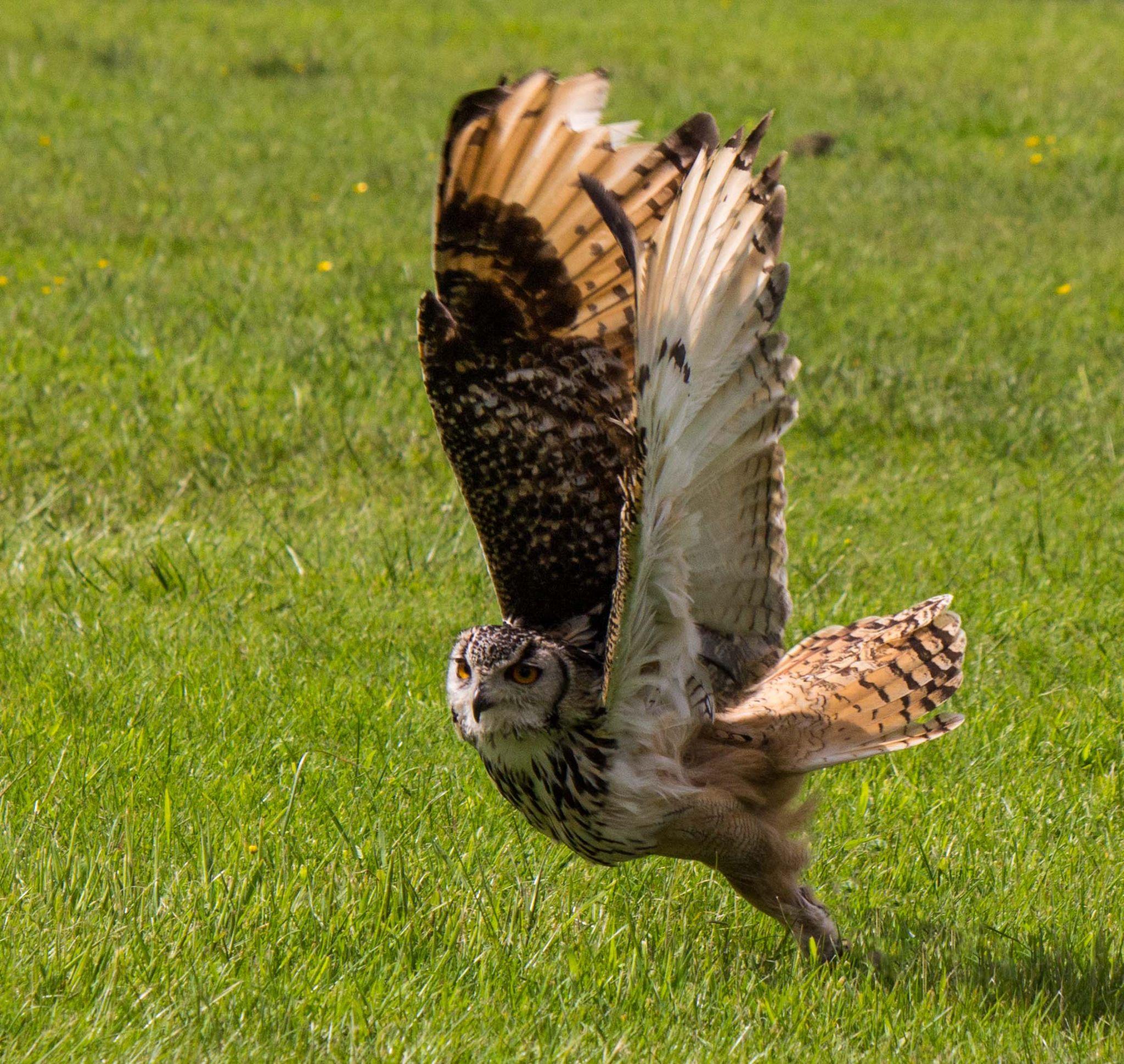 owl by jeff