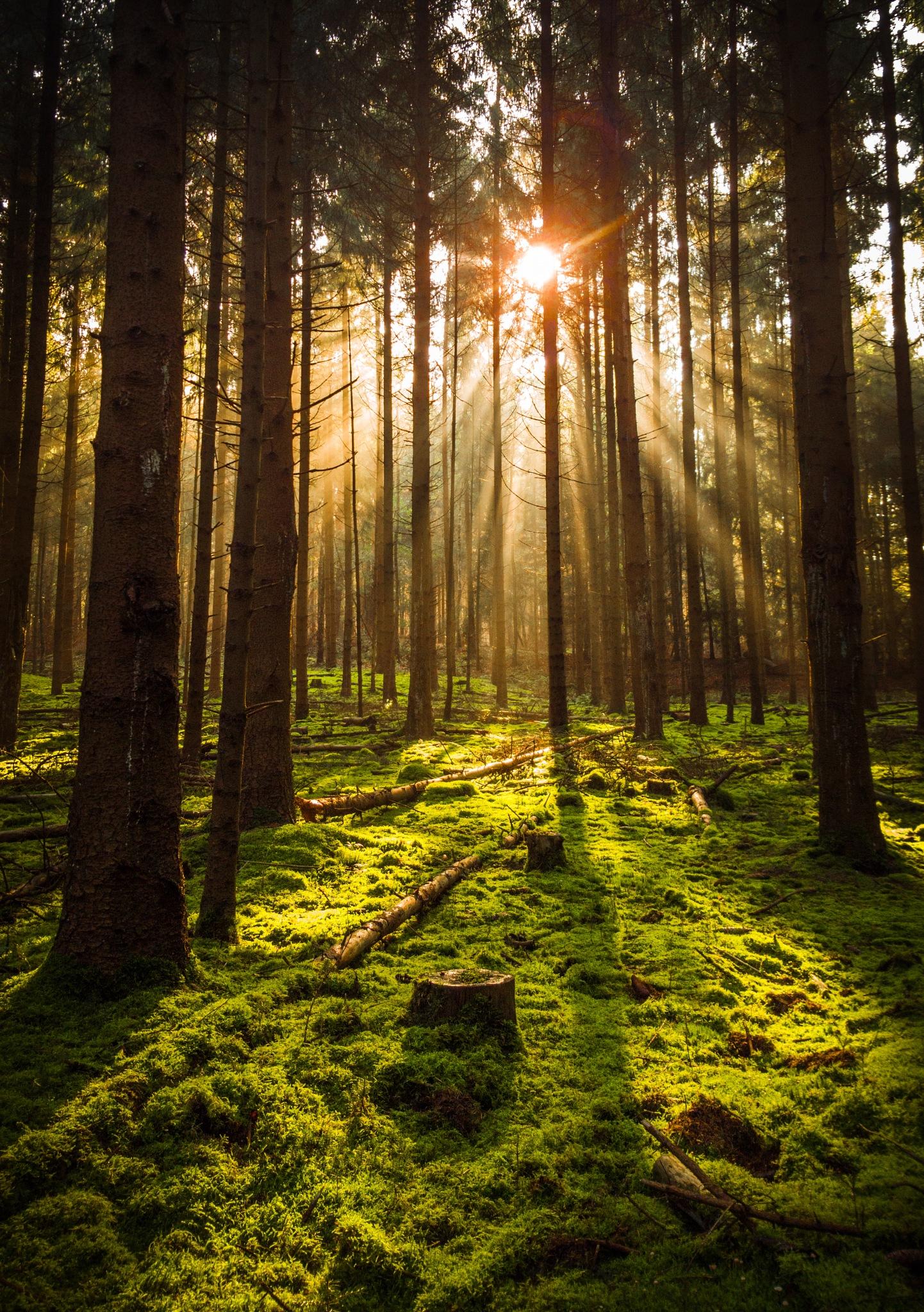 sunny forest by joostlagerweij