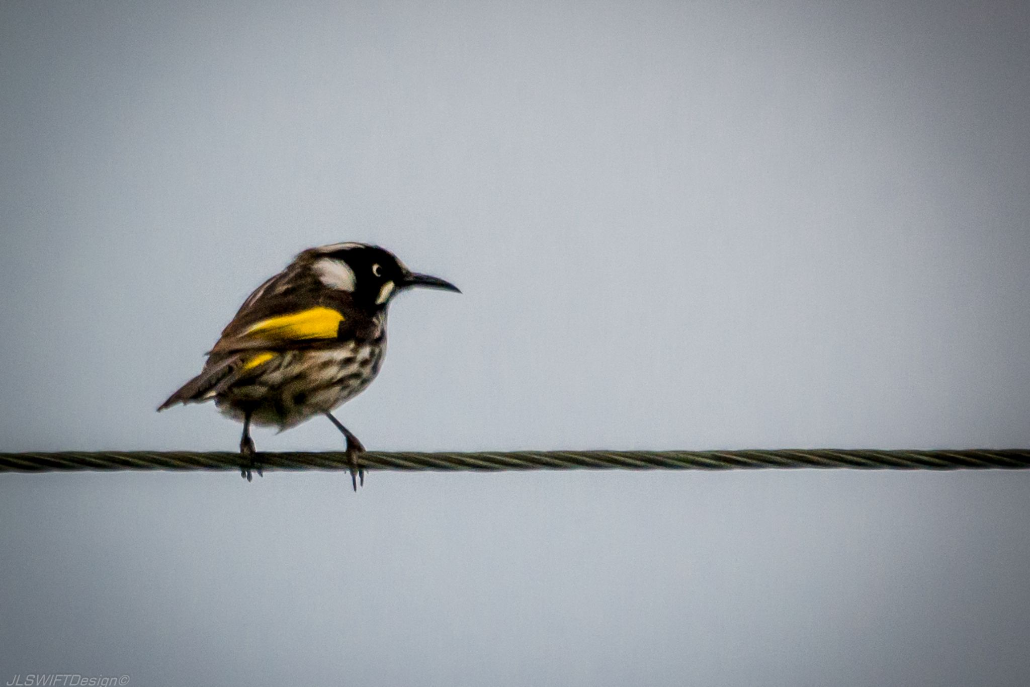 Yellow Bird on a wire by JLSWIFTdesign