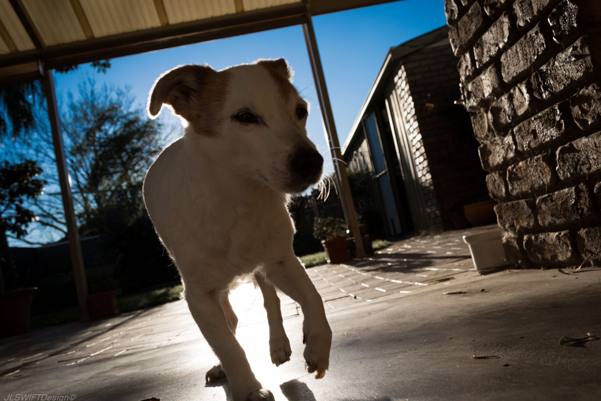 Elle the Jack Russell 003 by JLSWIFTdesign