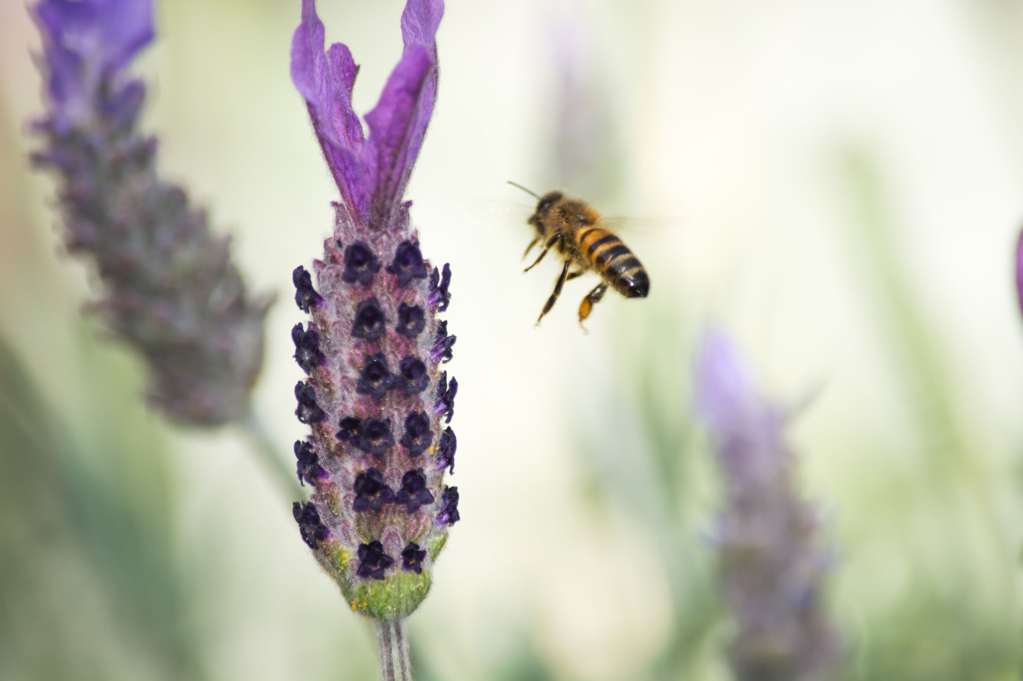 Lavender with Bee by JLSWIFTdesign
