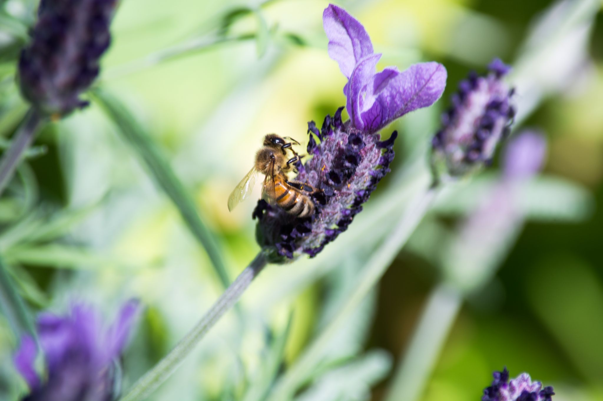 Lavender with Bee (002) by JLSWIFTdesign