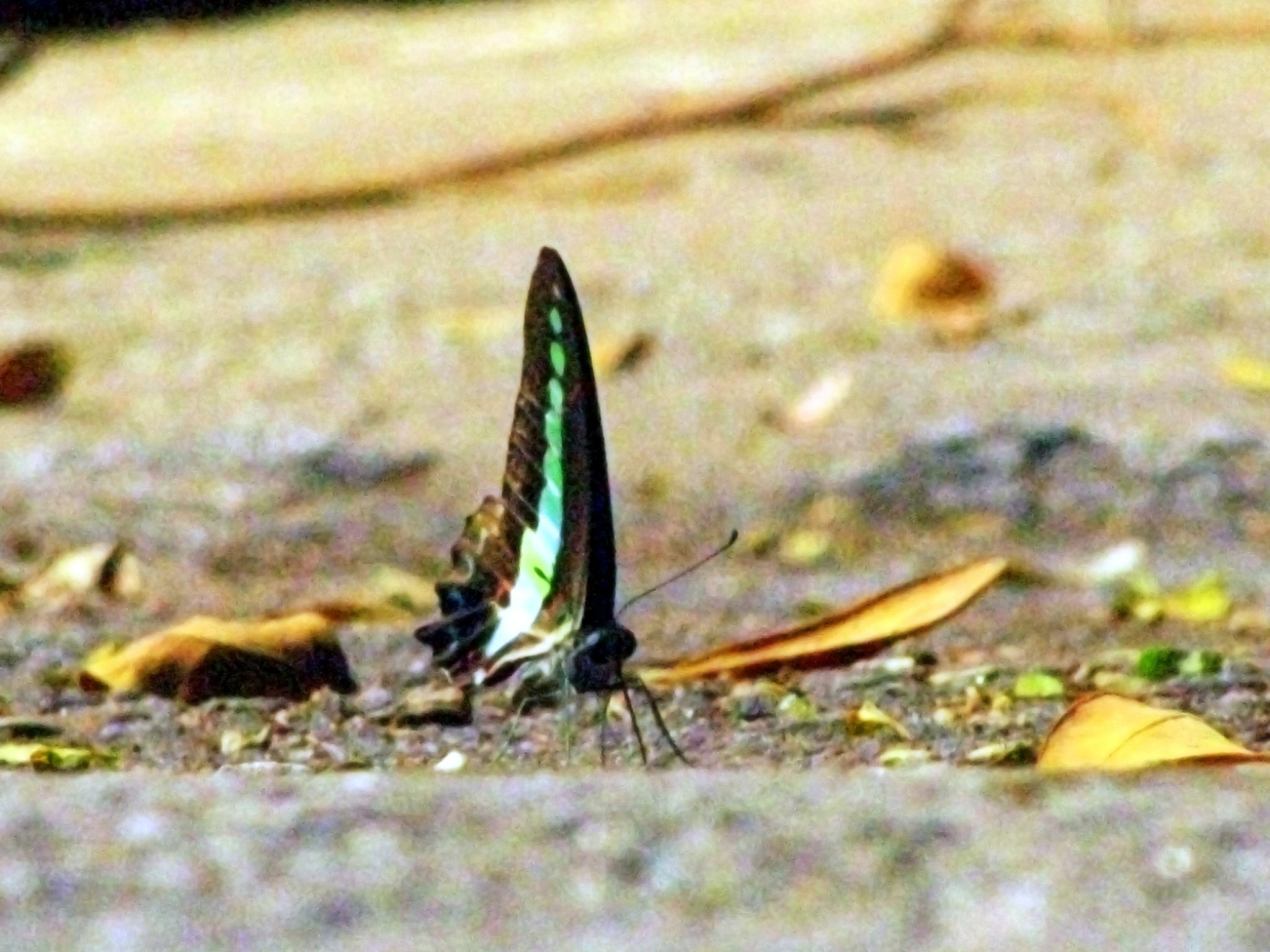 Butterfly by Dhruvil Mistry